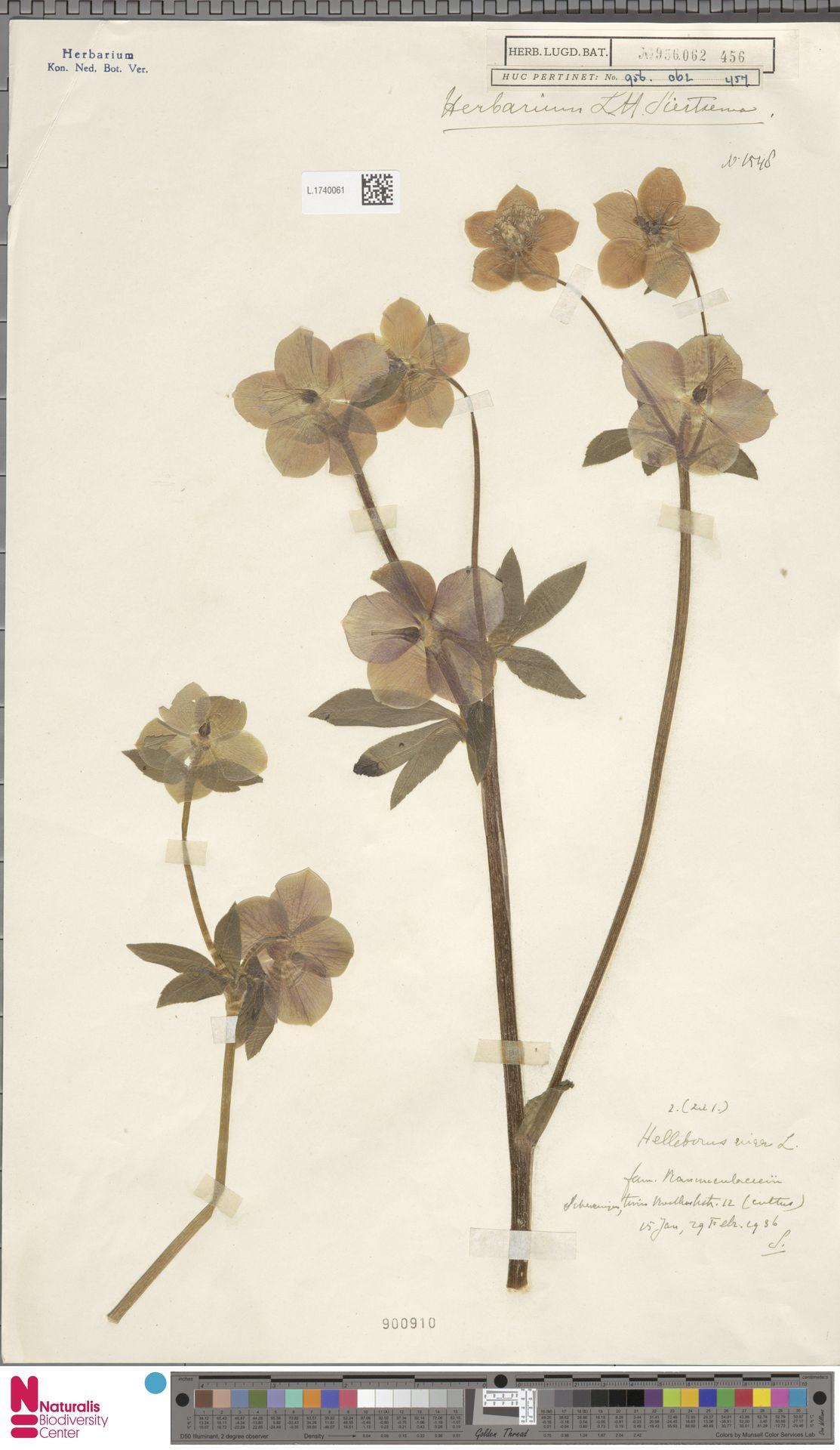 L.1740061 | Helleborus niger L.