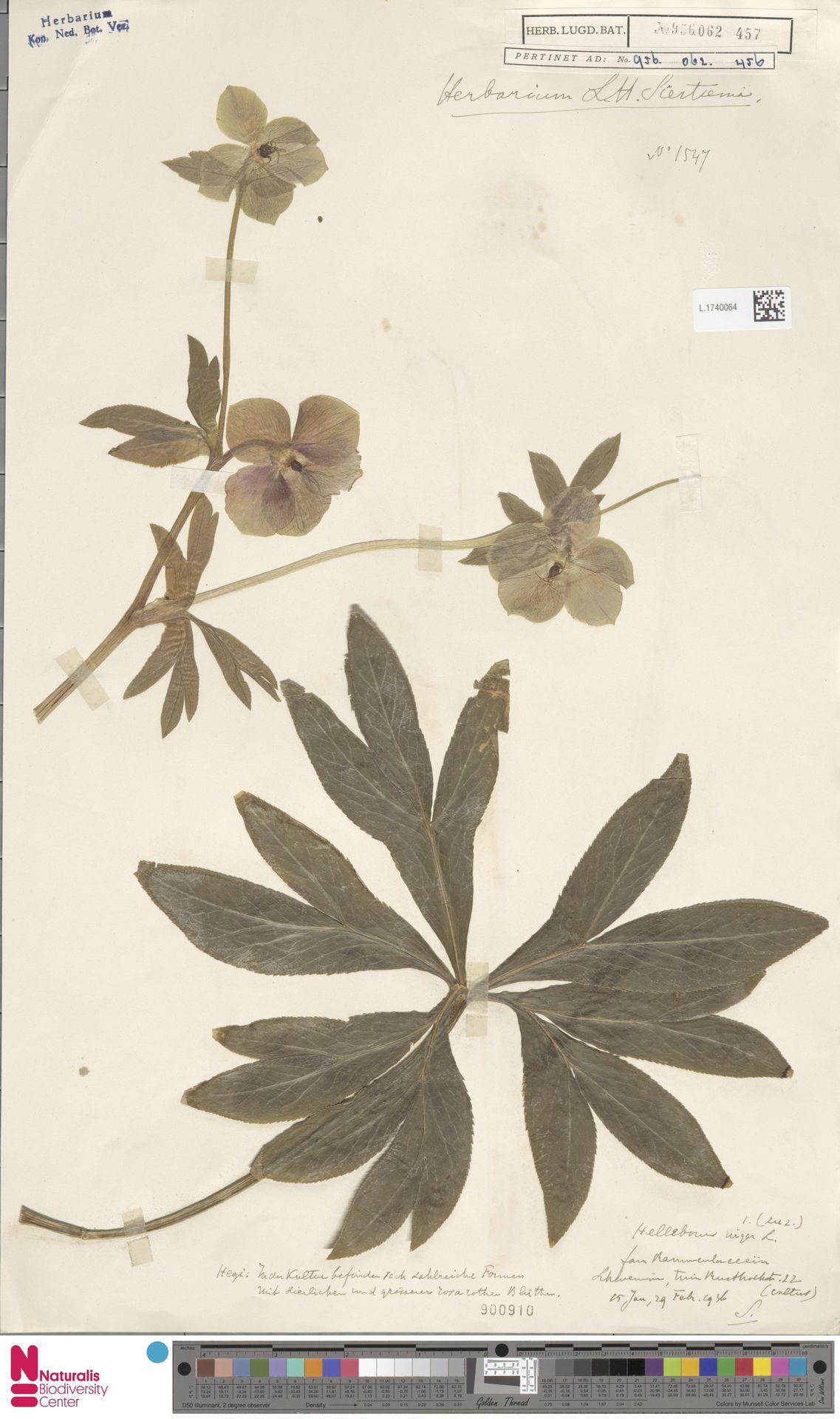 L.1740064 | Helleborus niger L.