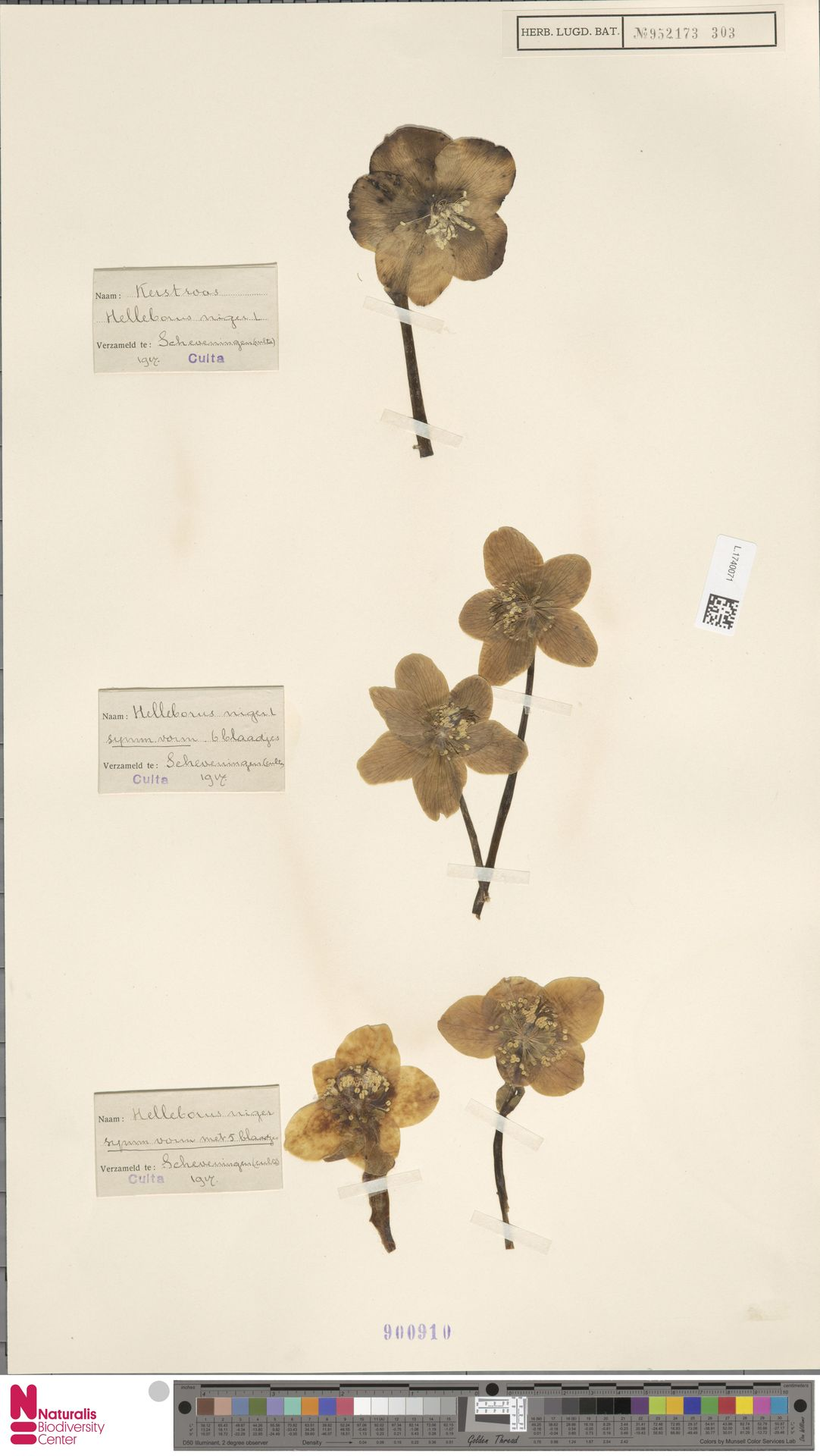 L.1740071 | Helleborus niger L.