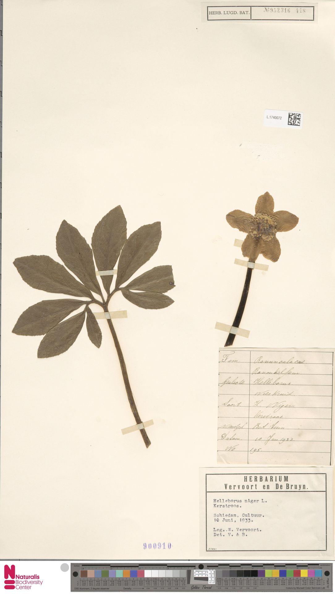 L.1740072 | Helleborus niger L.