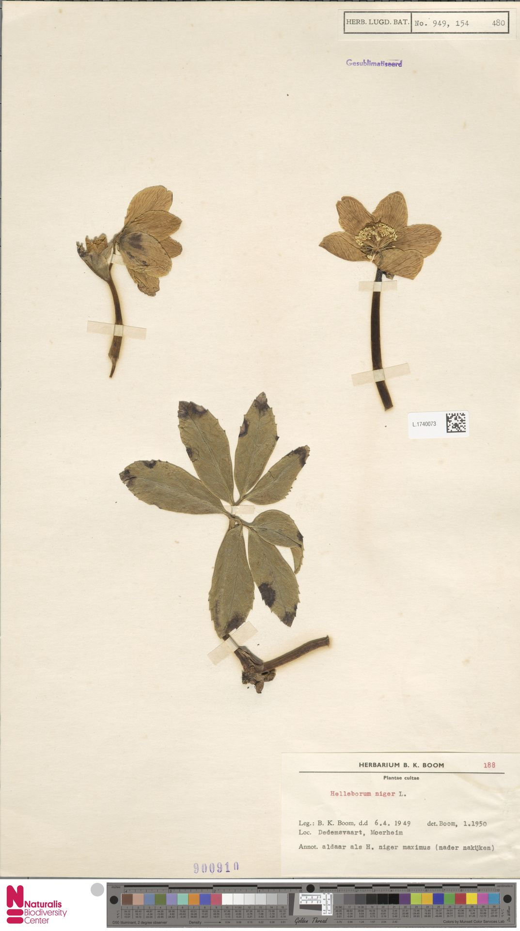 L.1740073 | Helleborus niger L.