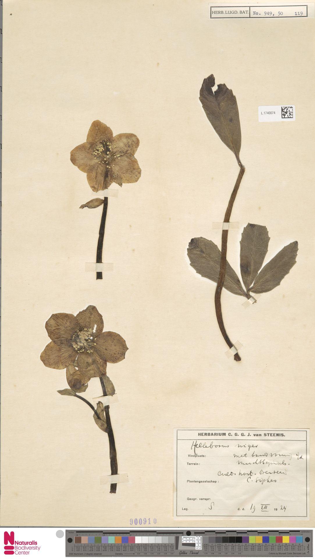 L.1740074 | Helleborus niger L.