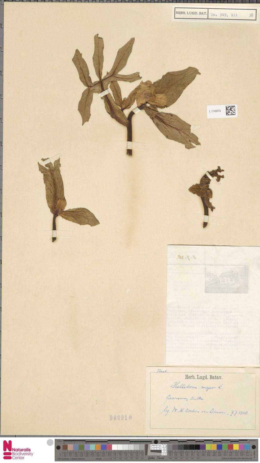 L.1740075   Helleborus niger L.