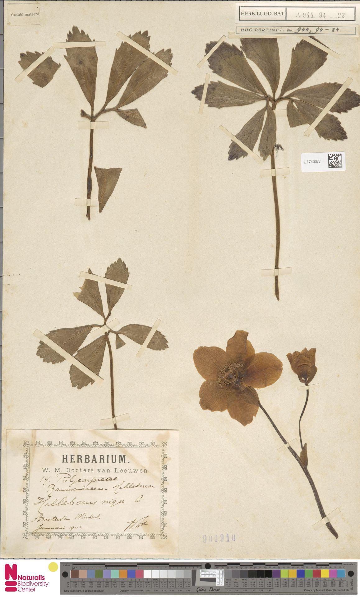 L.1740077 | Helleborus niger L.