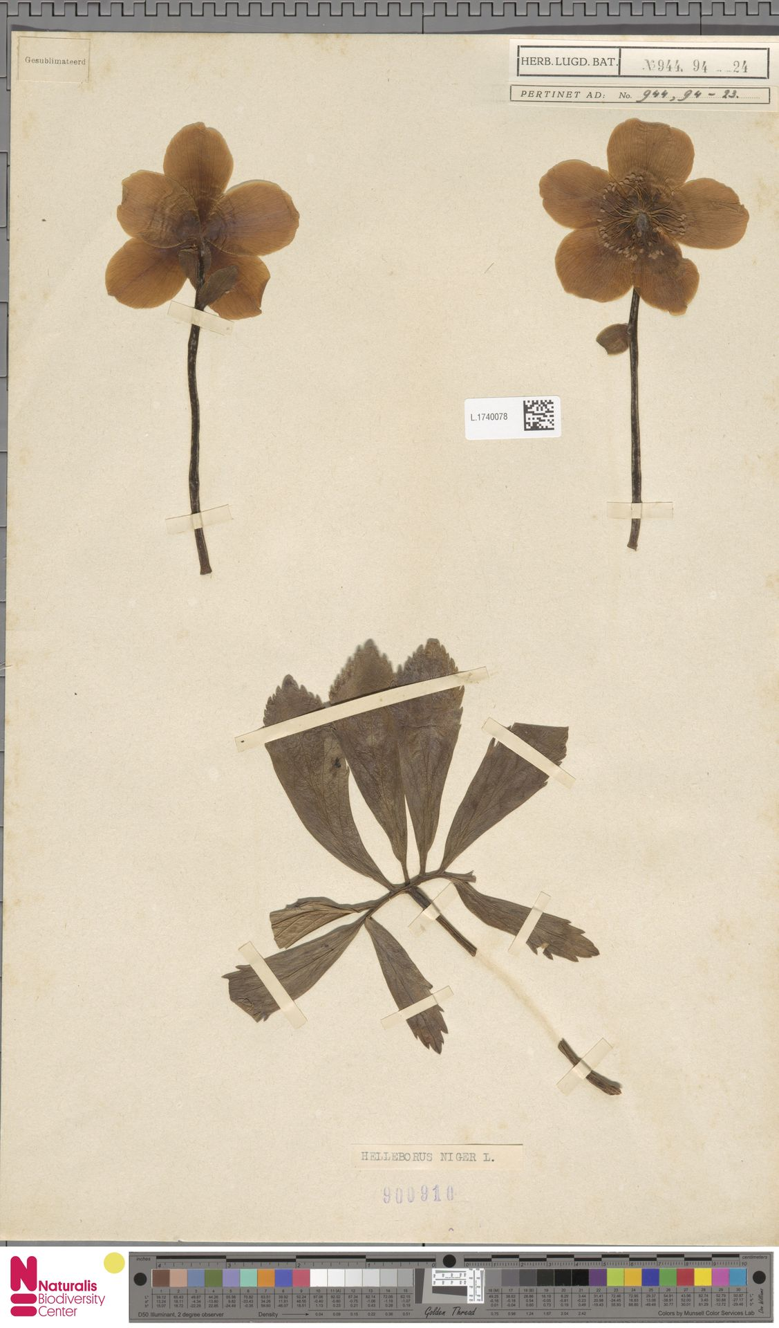 L.1740078   Helleborus niger L.