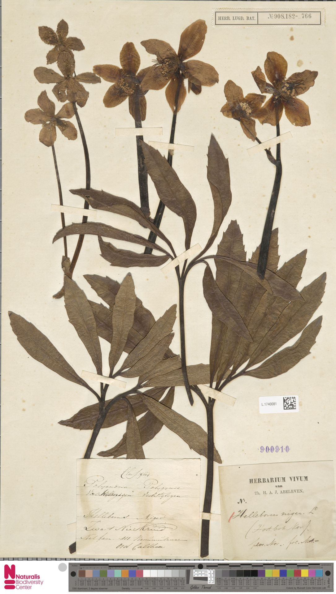 L.1740081 | Helleborus niger L.