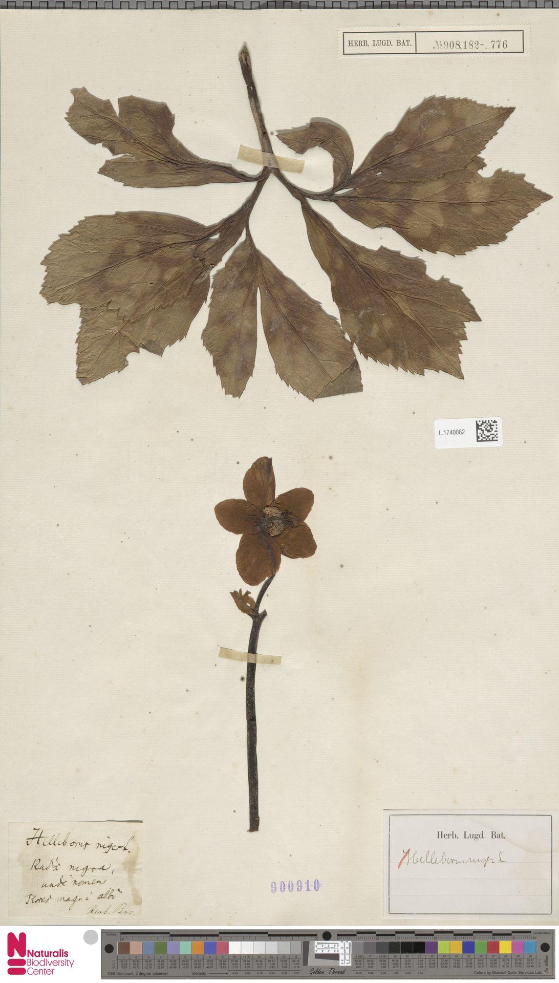 L.1740082   Helleborus niger L.