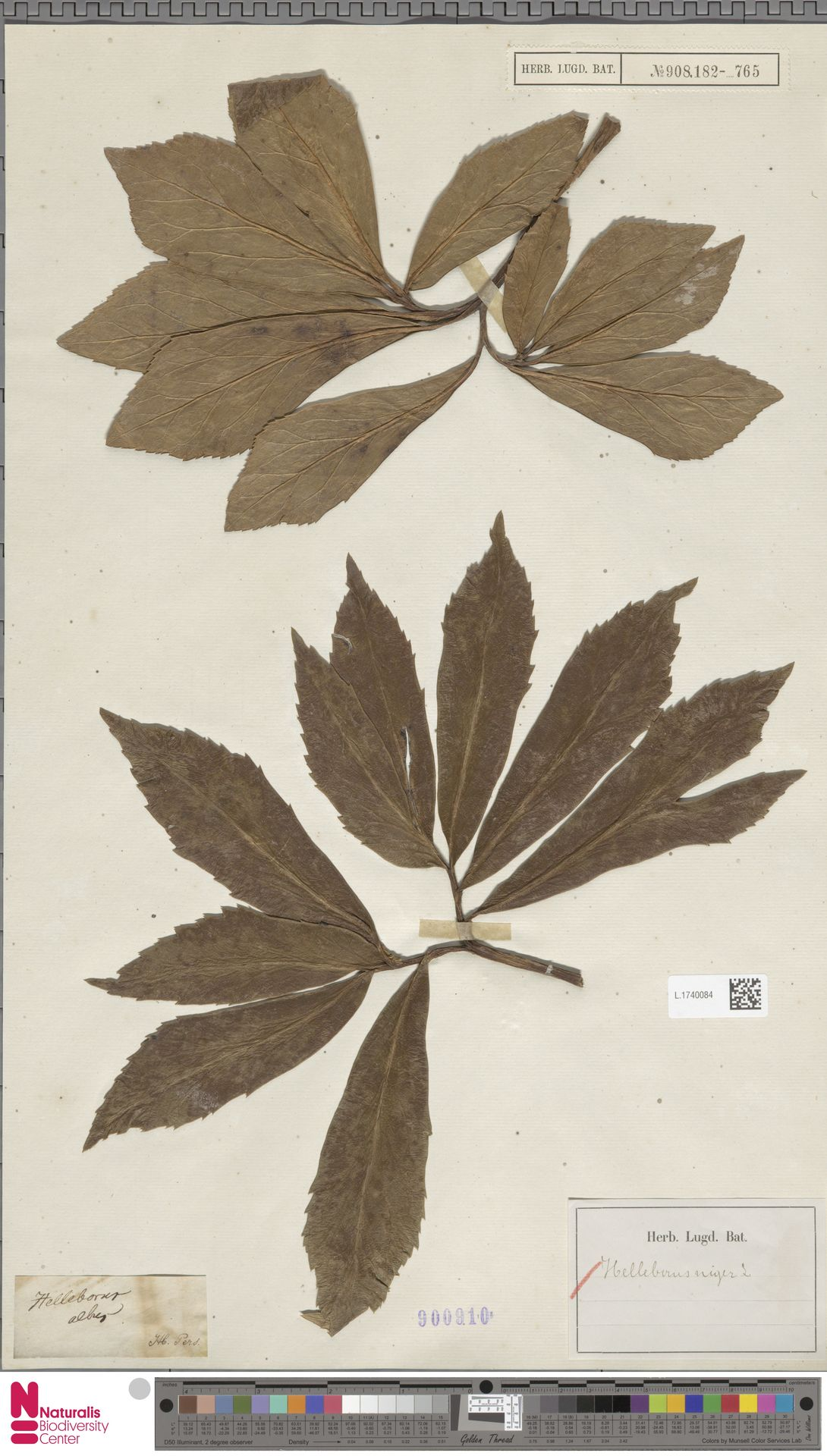 L.1740084 | Helleborus niger L.