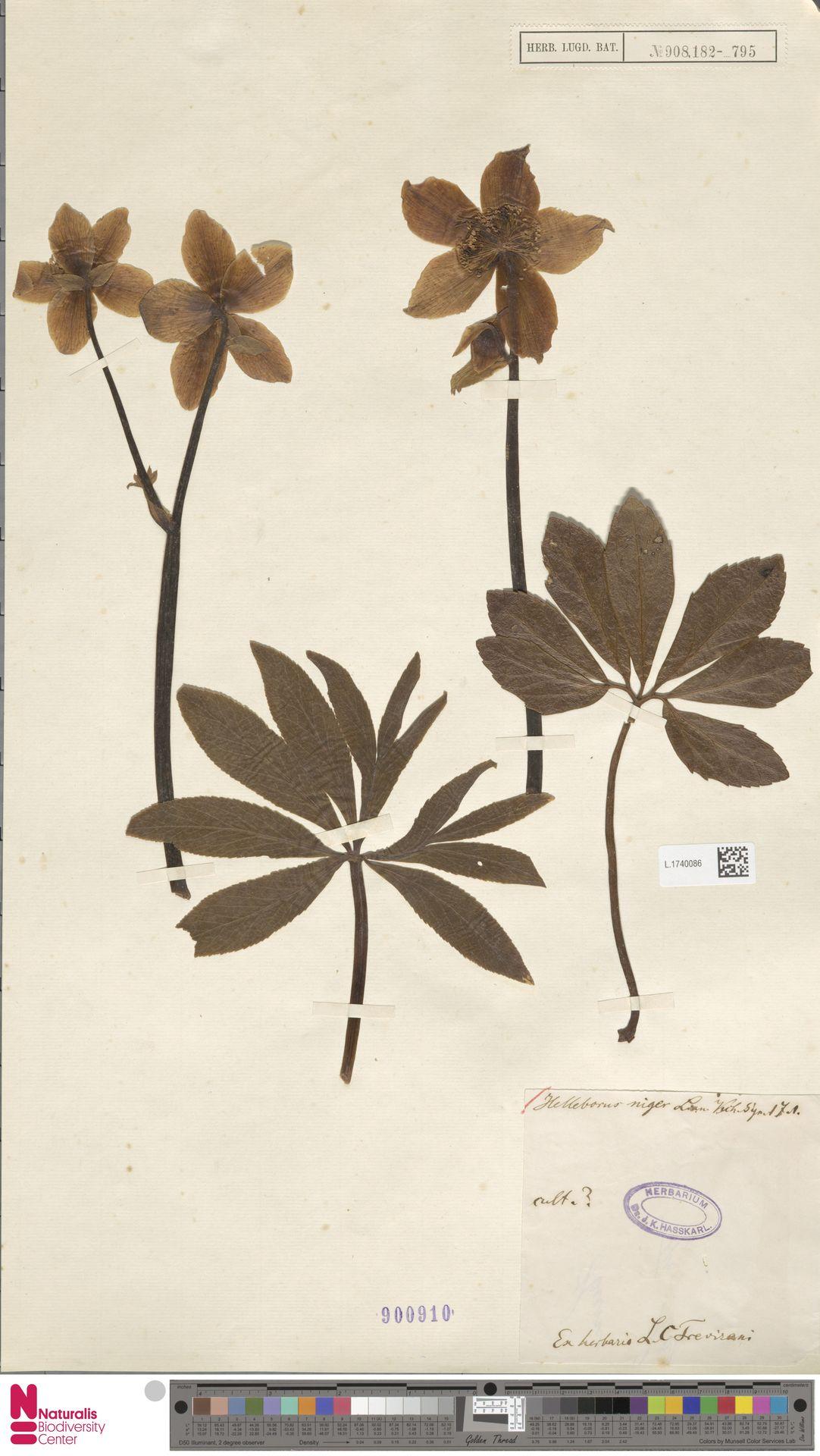 L.1740086   Helleborus niger L.