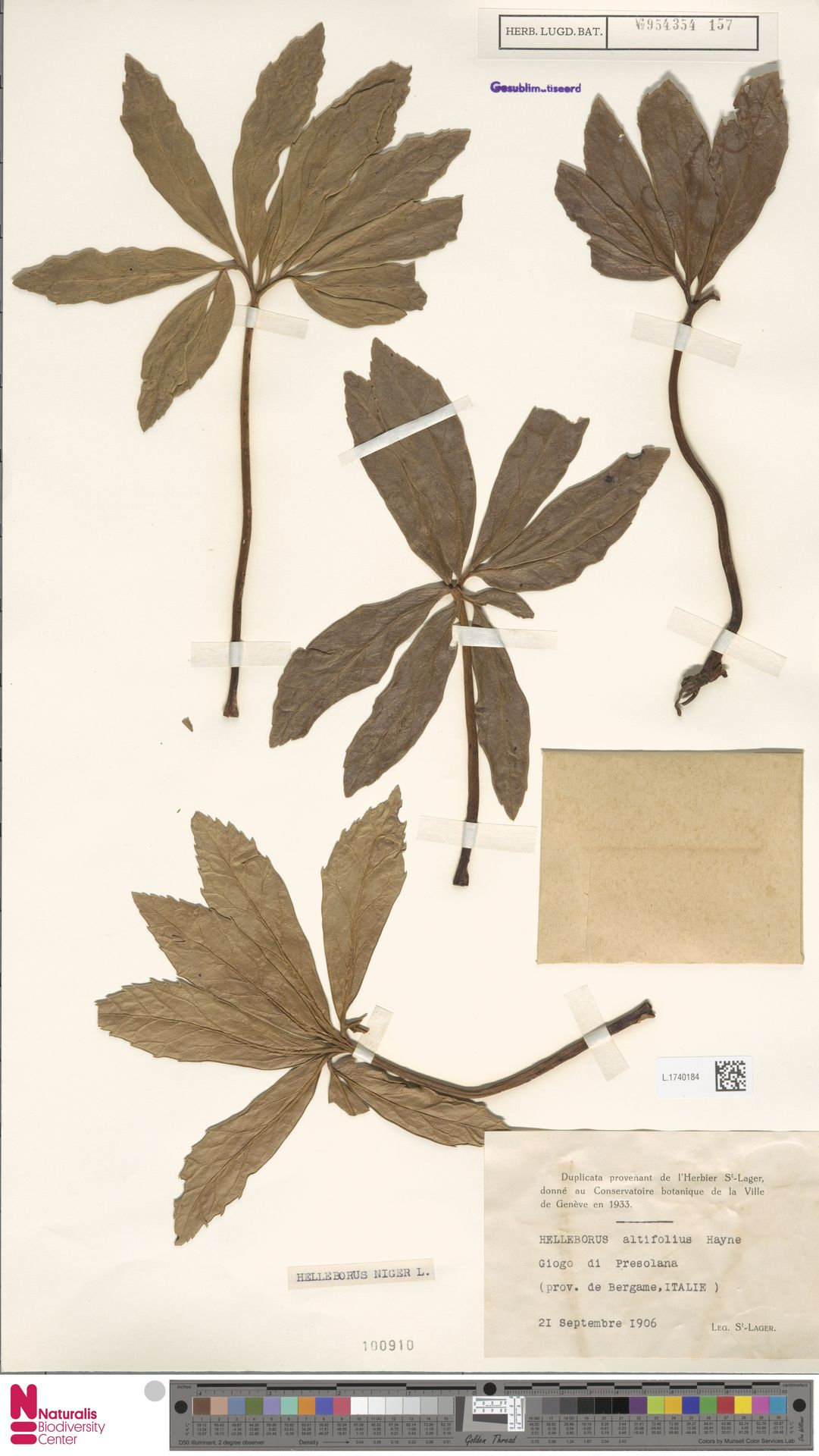 L.1740184 | Helleborus niger L.