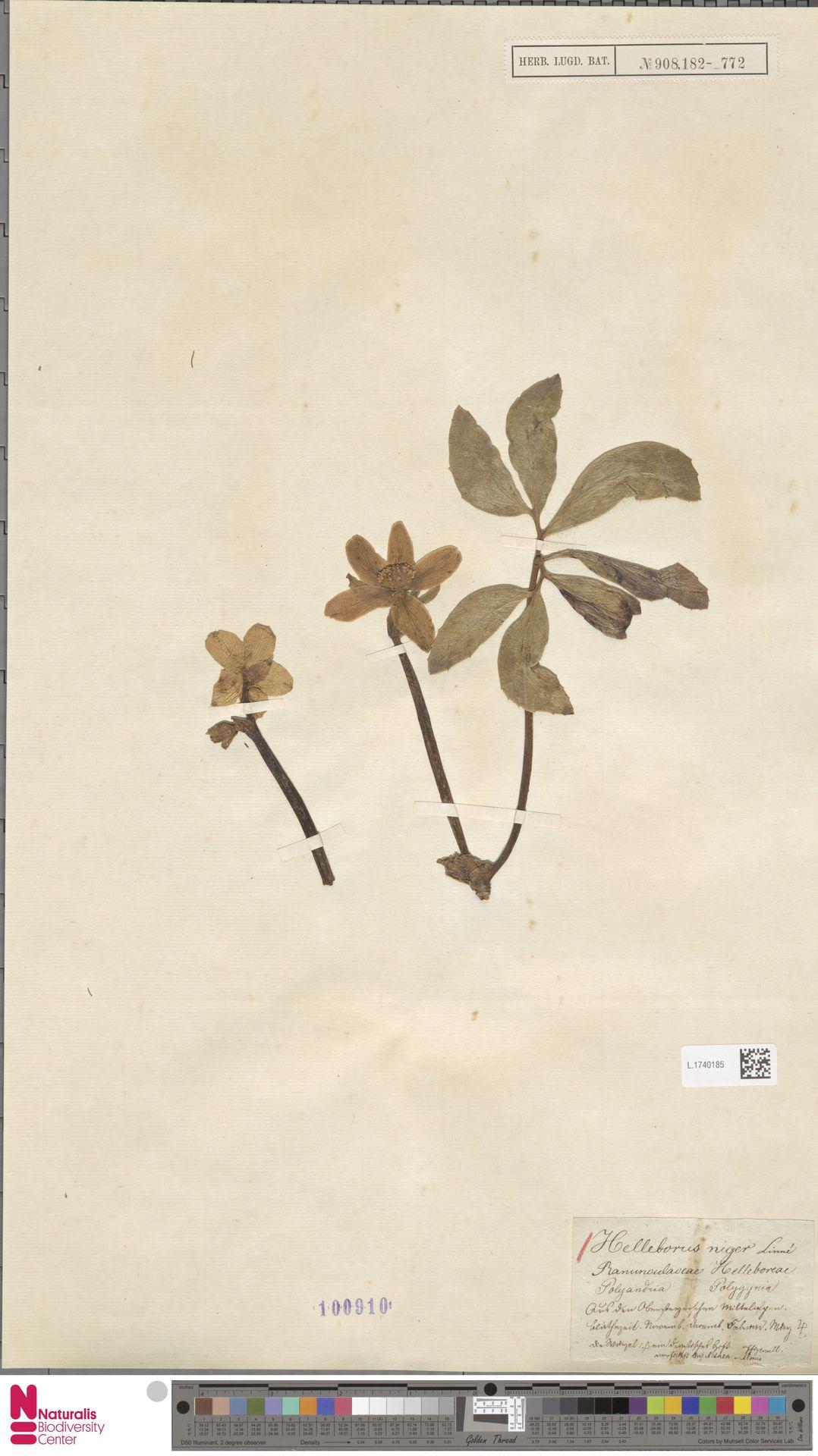 L.1740185 | Helleborus niger L.