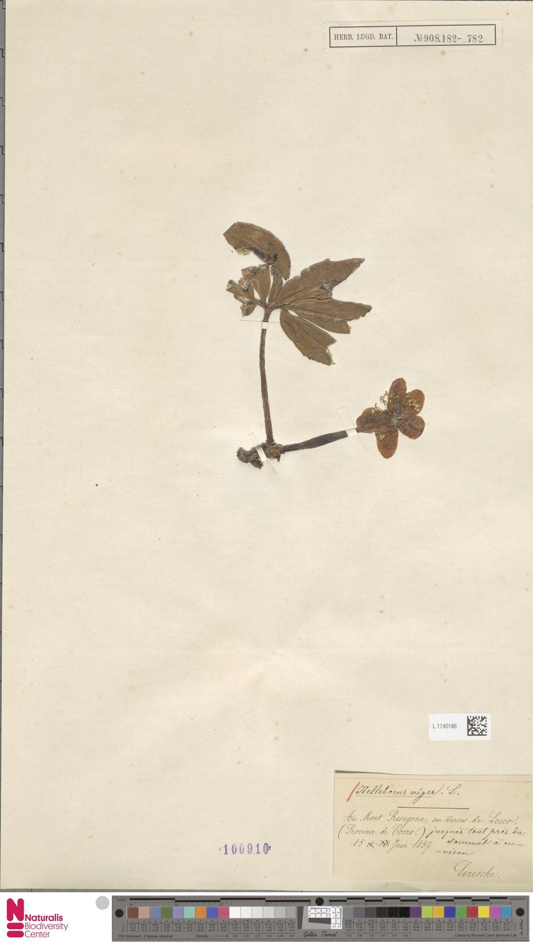L.1740186 | Helleborus niger L.