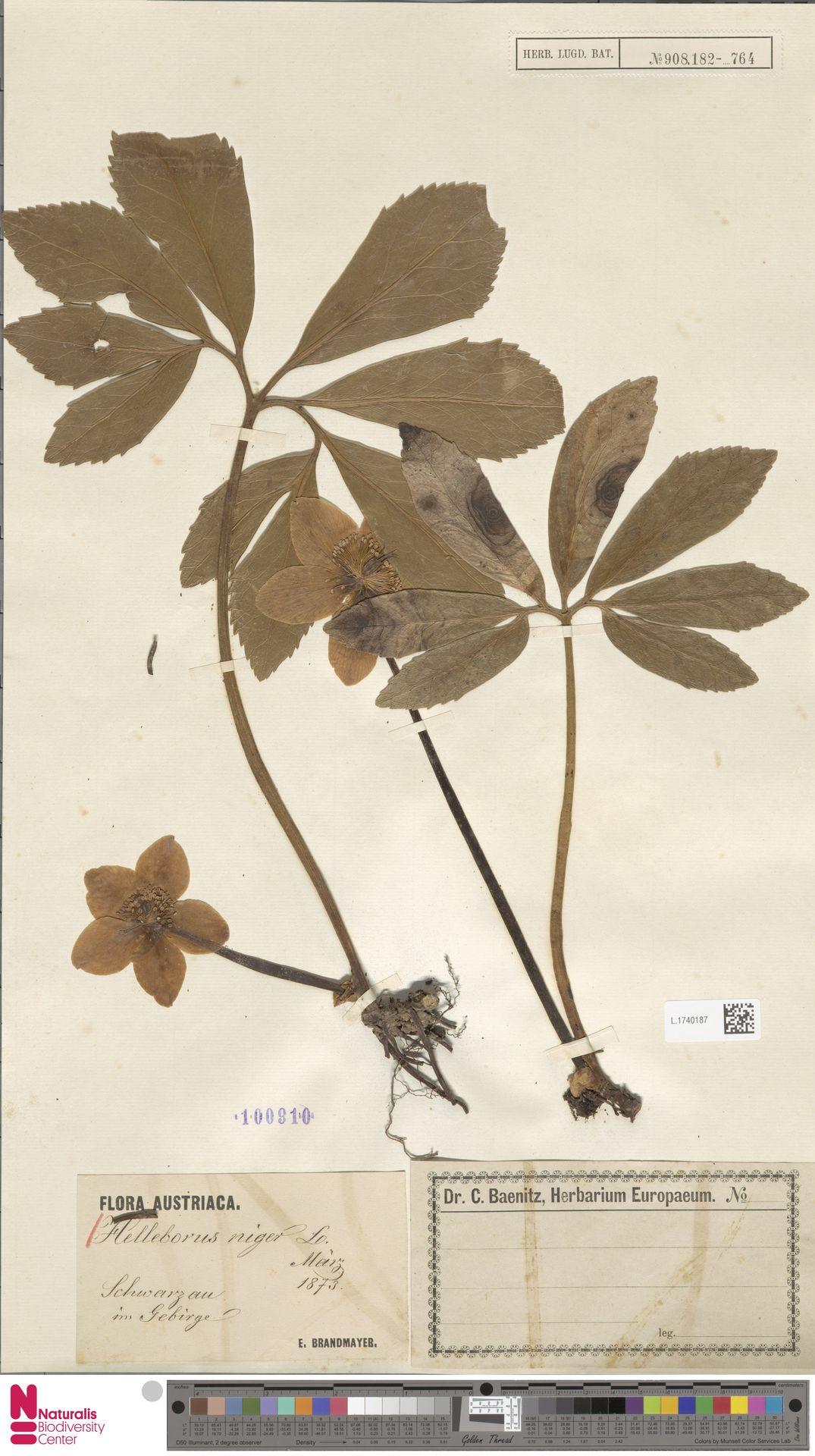 L.1740187 | Helleborus niger L.