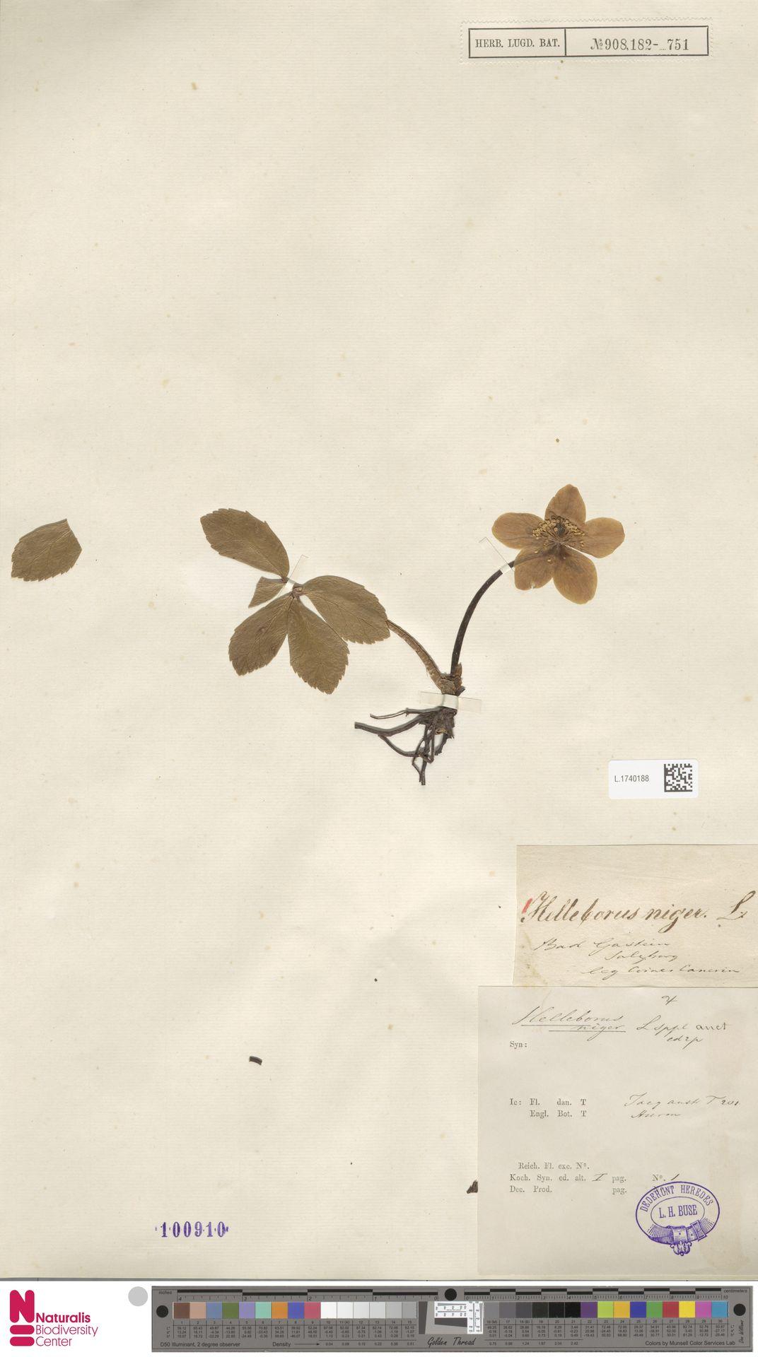 L.1740188   Helleborus niger L.