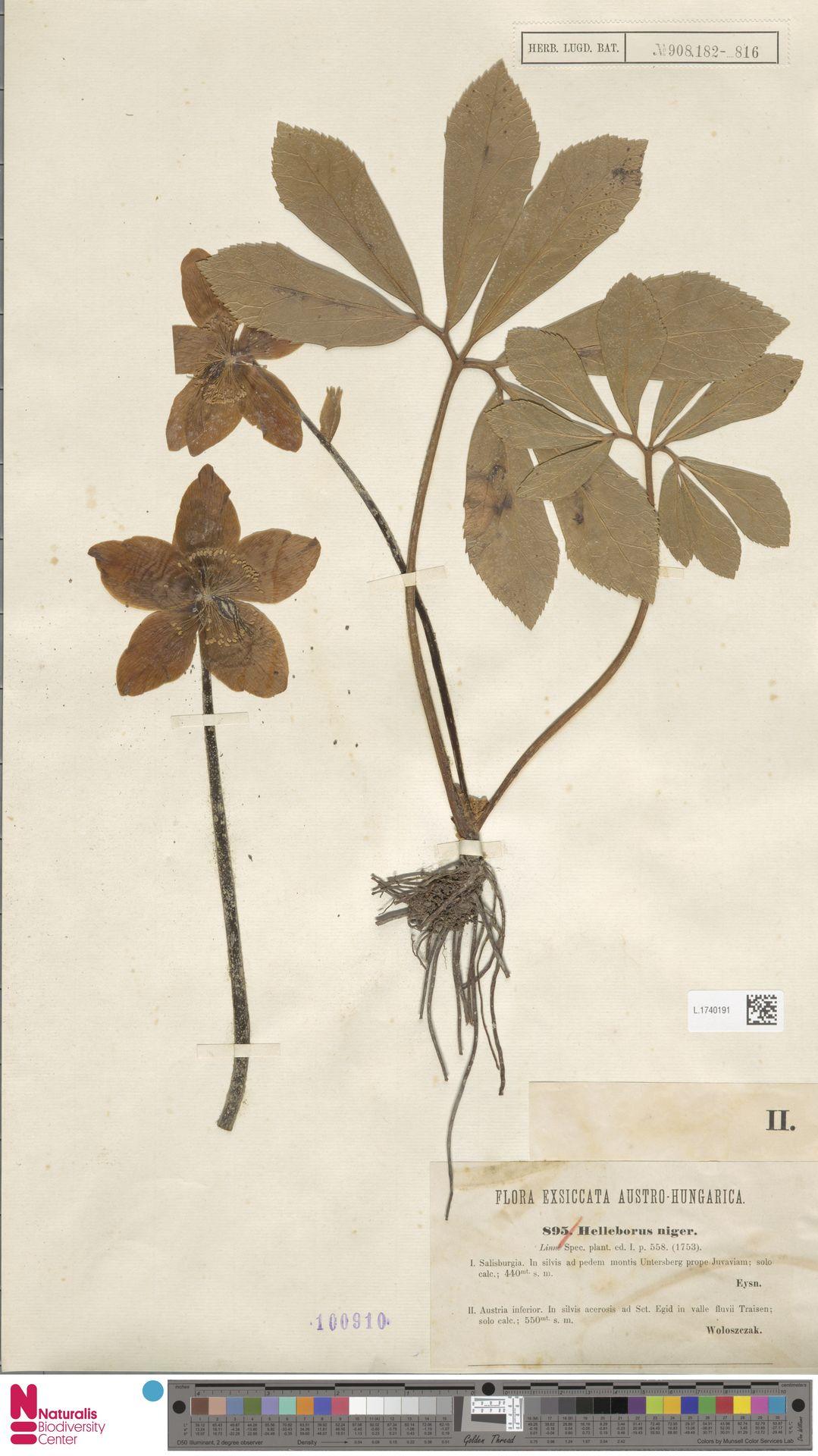 L.1740191   Helleborus niger L.
