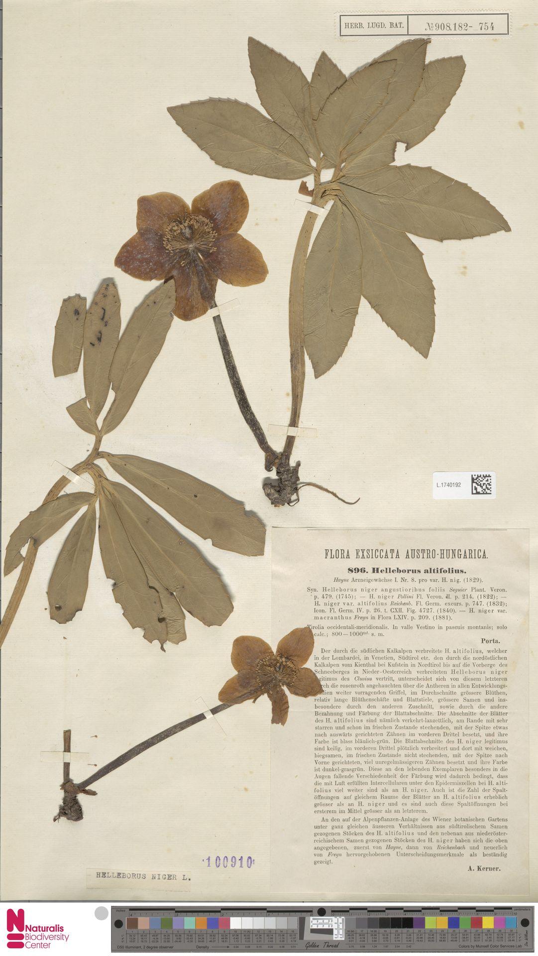 L.1740192   Helleborus niger L.