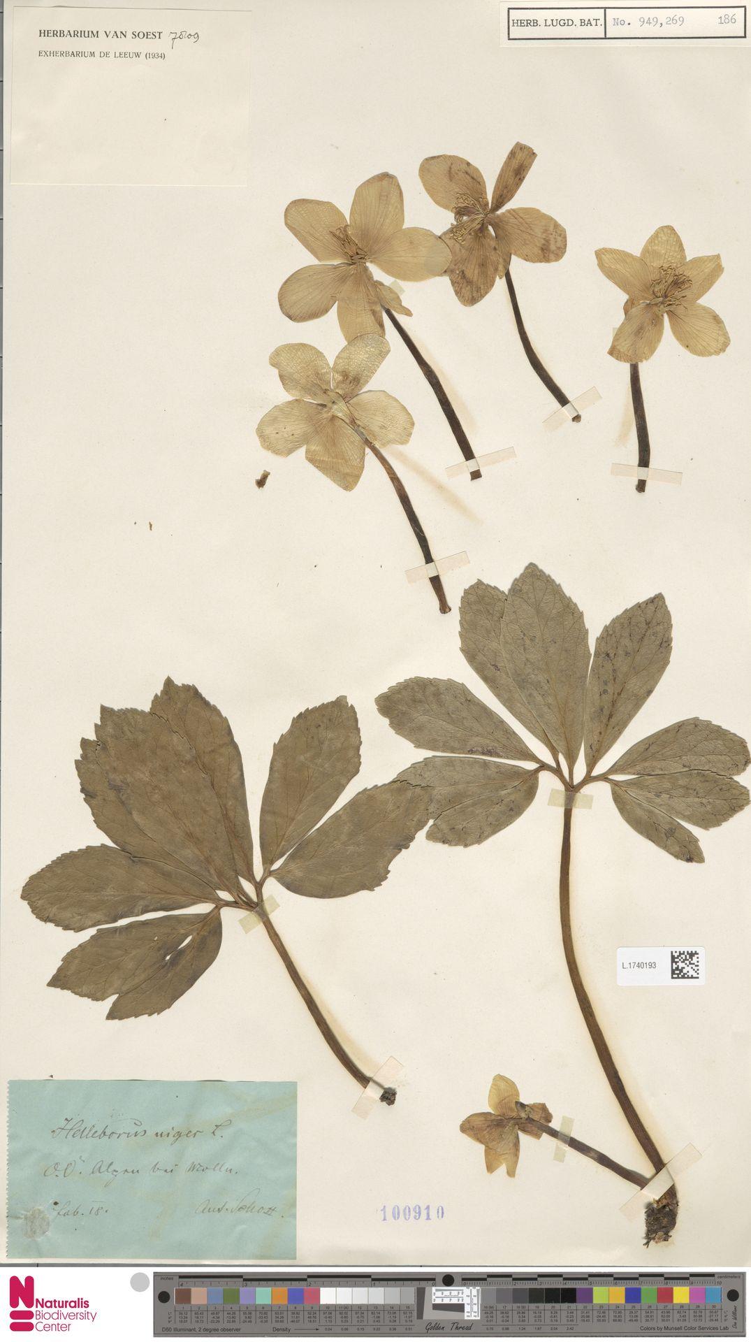 L.1740193 | Helleborus niger L.