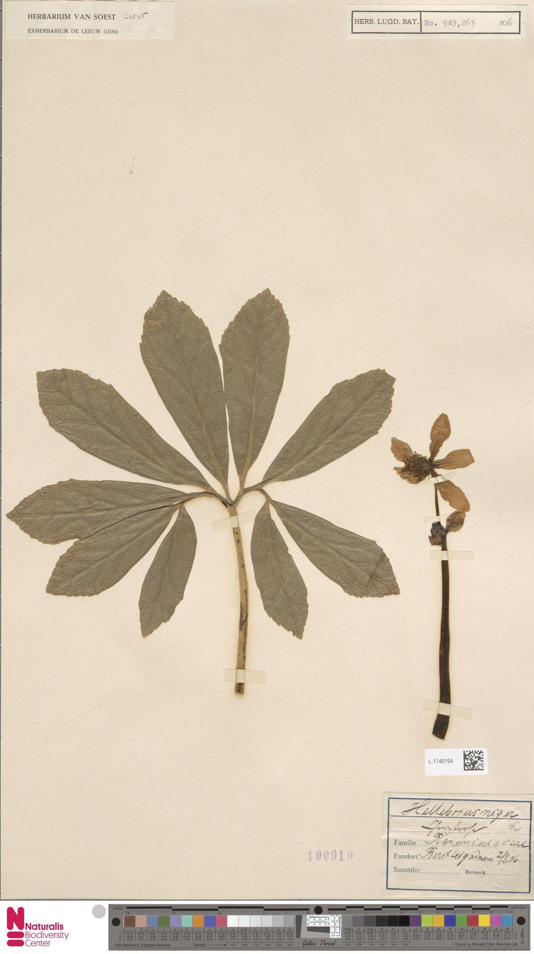 L.1740194 | Helleborus niger L.