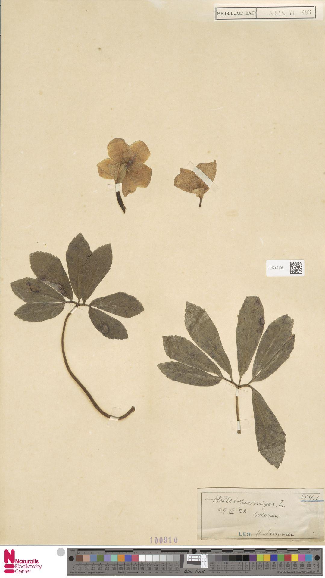 L.1740195   Helleborus niger L.