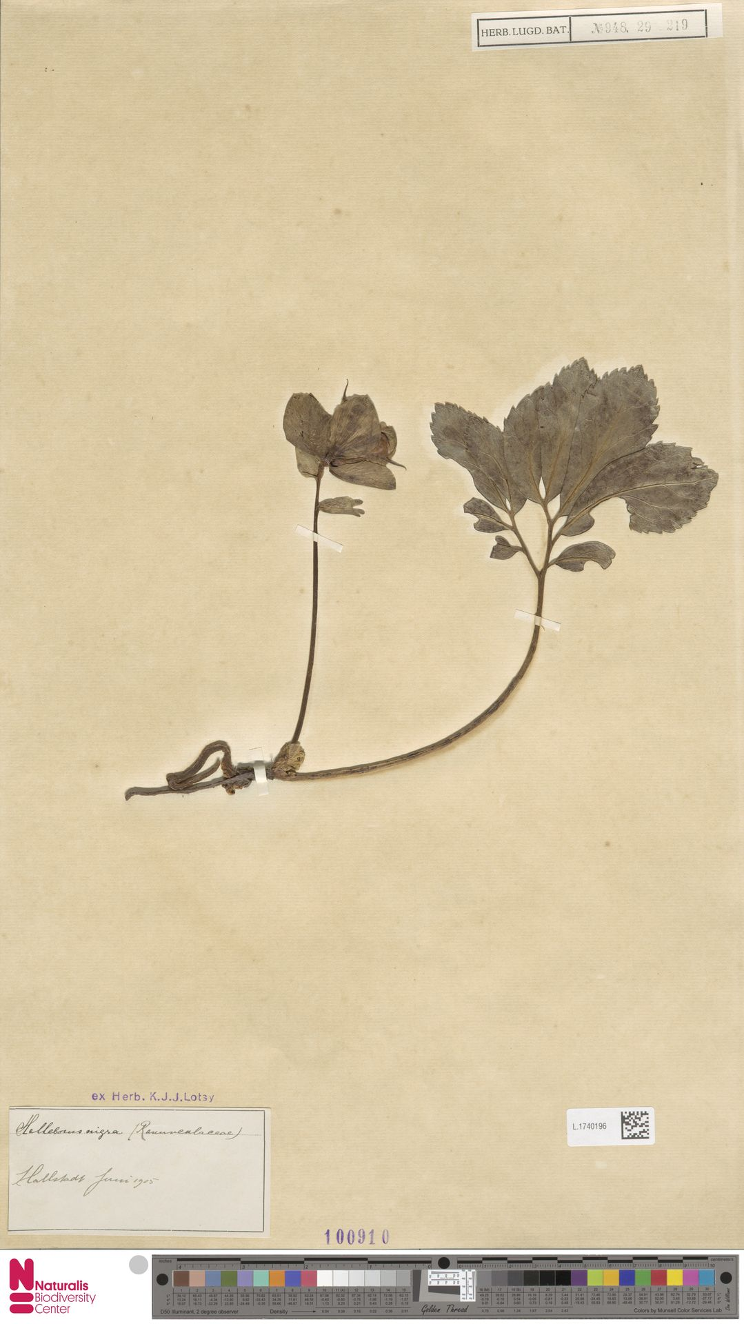 L.1740196 | Helleborus niger L.