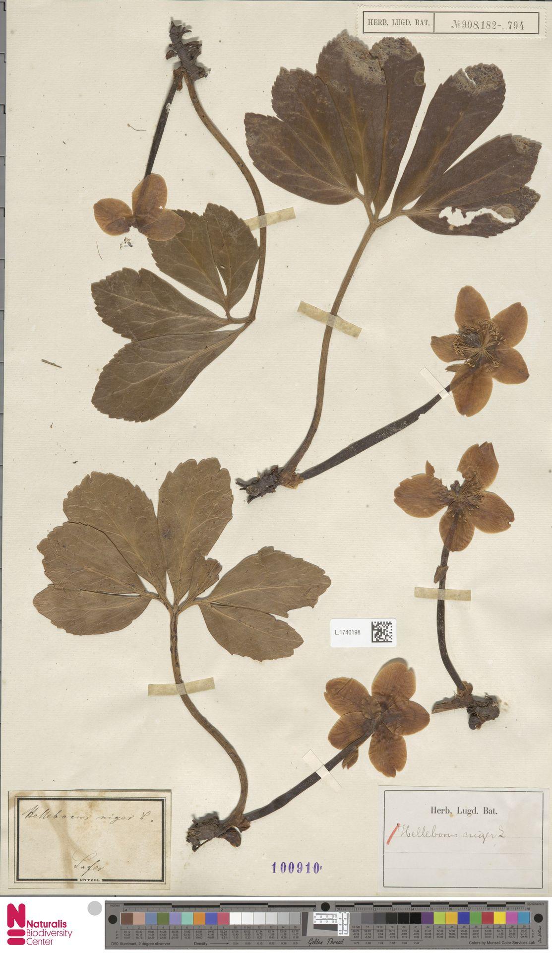 L.1740198 | Helleborus niger L.