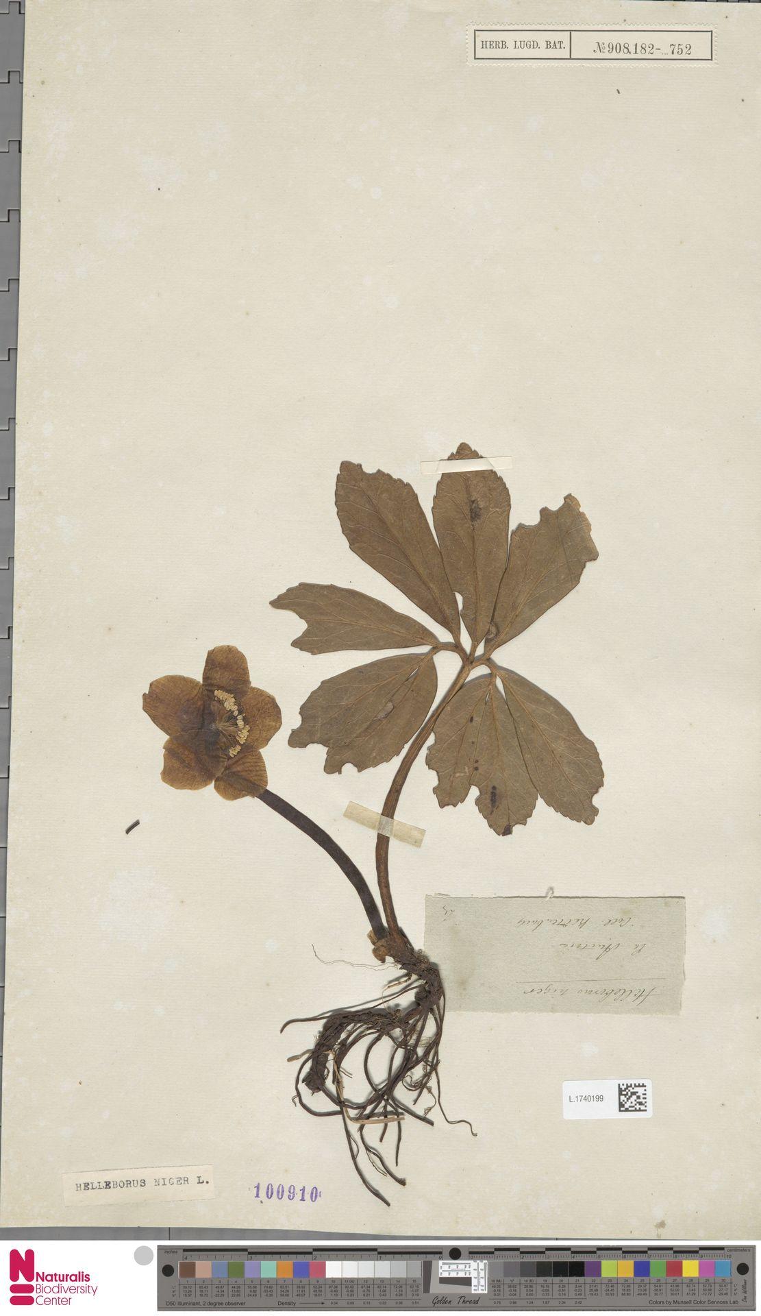 L.1740199 | Helleborus niger L.