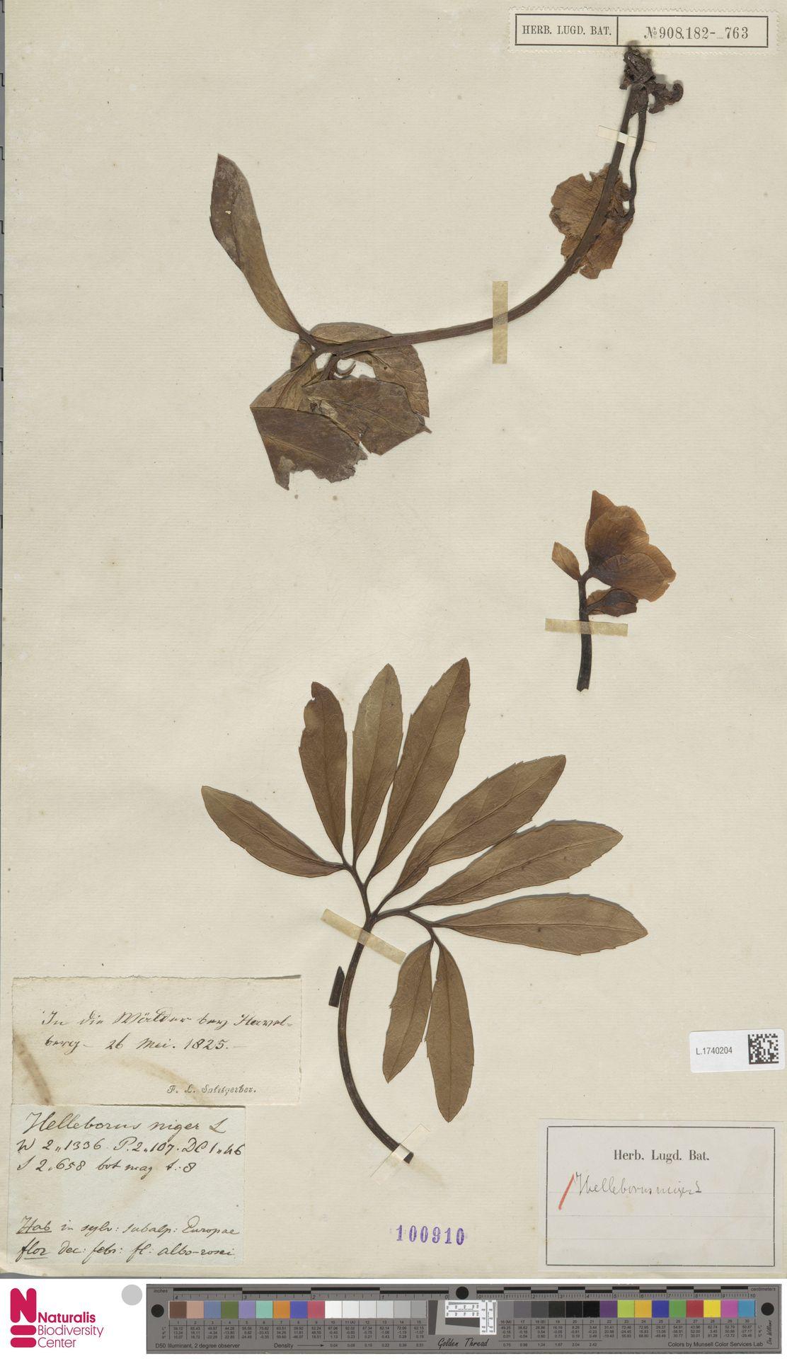 L.1740204 | Helleborus niger L.