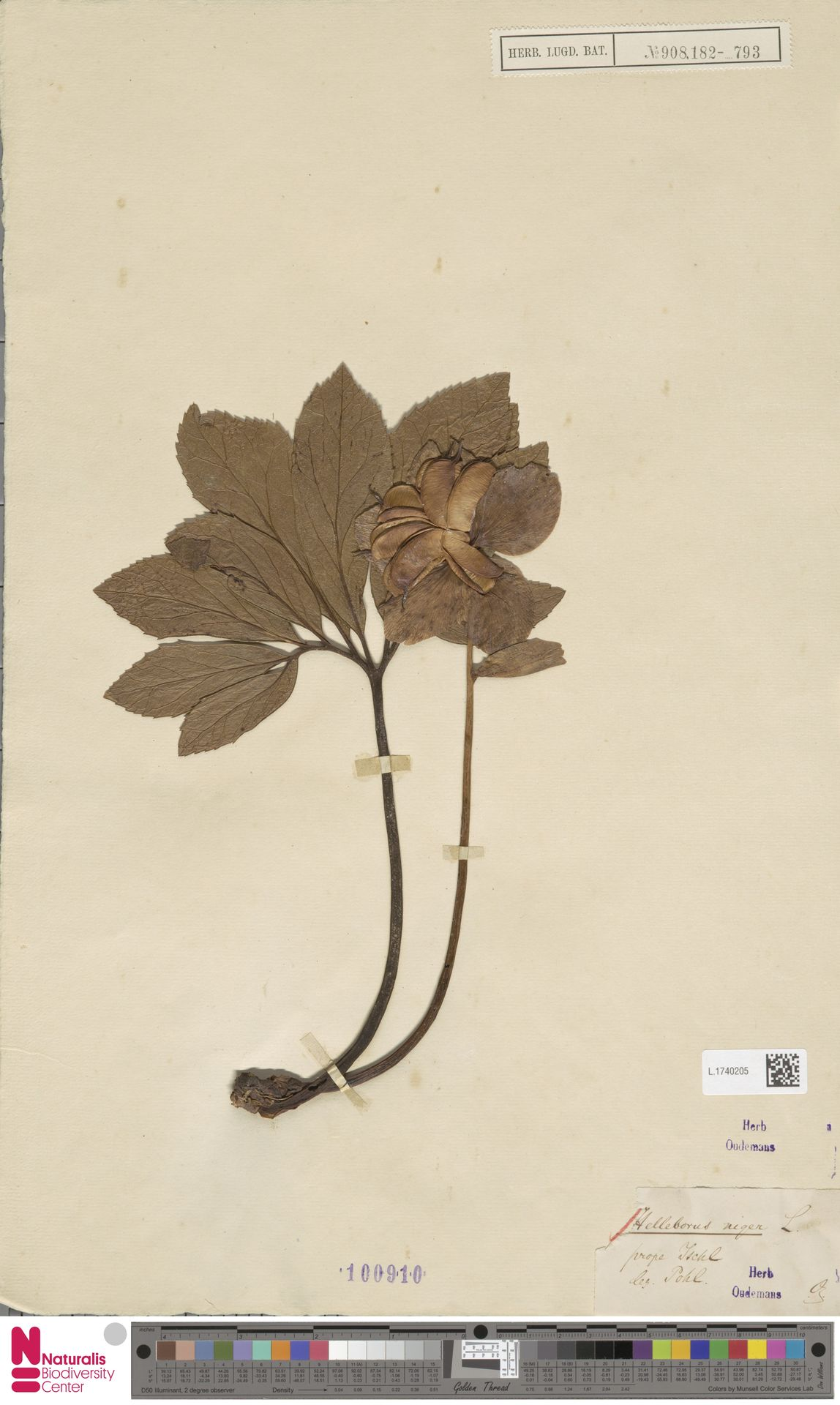 L.1740205 | Helleborus niger L.