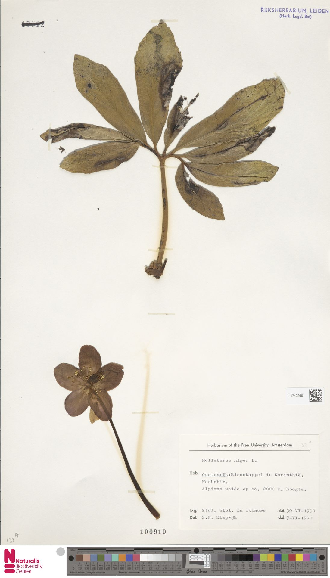 L.1740206 | Helleborus niger L.