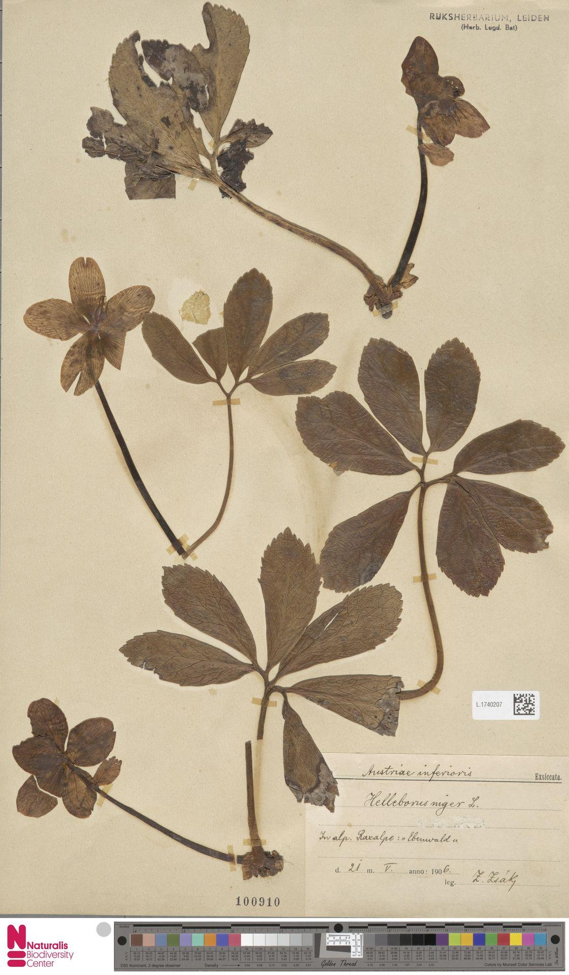 L.1740207 | Helleborus niger L.
