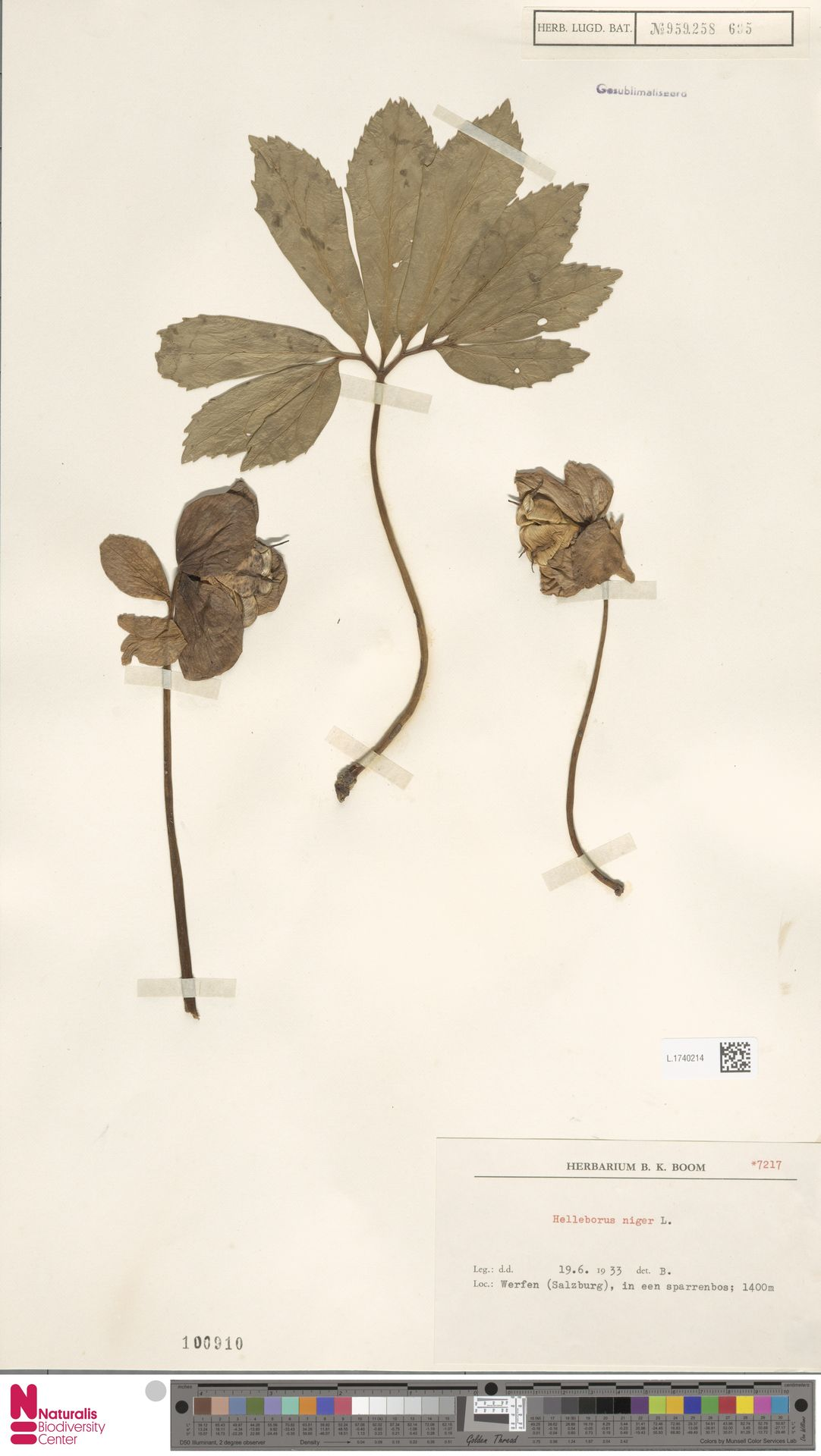 L.1740214 | Helleborus niger L.