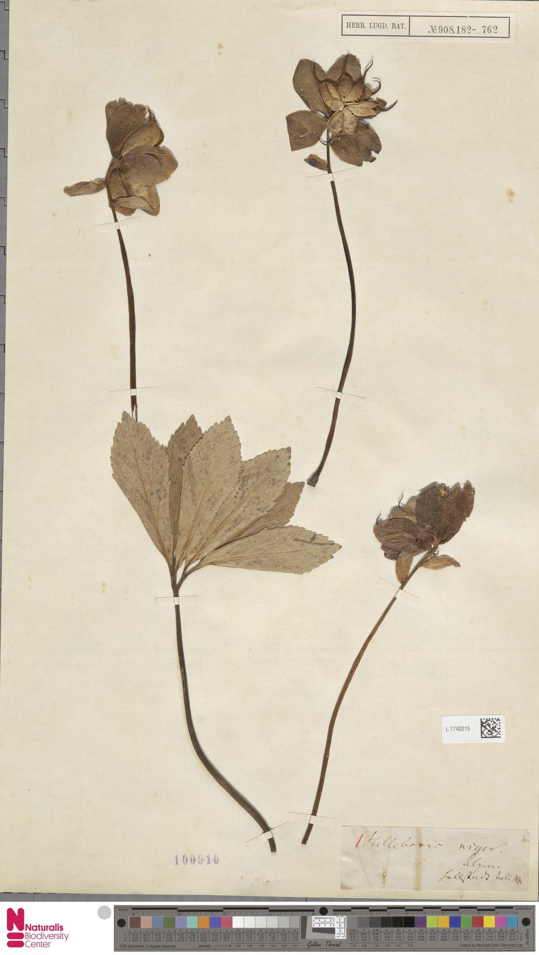 L.1740215   Helleborus niger L.