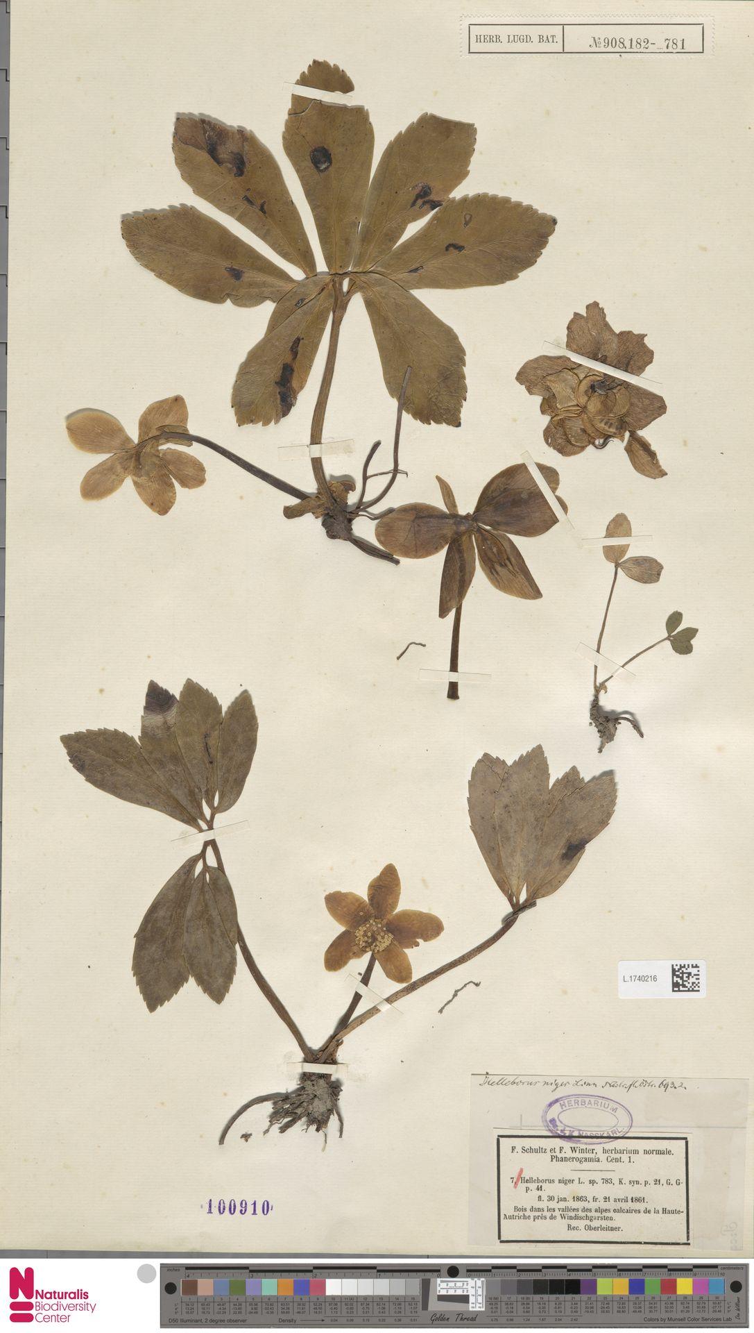L.1740216 | Helleborus niger L.