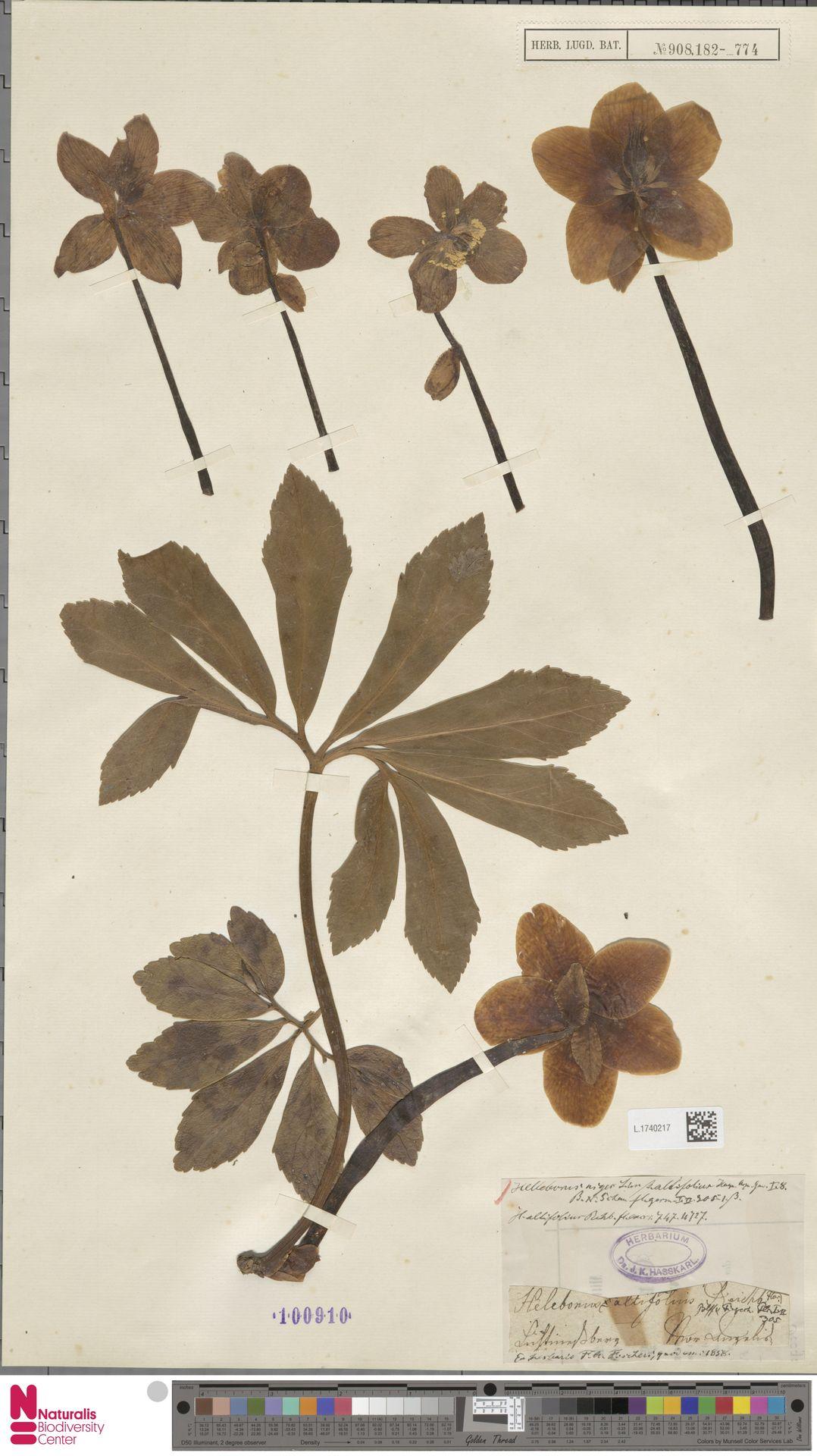 L.1740217   Helleborus niger L.