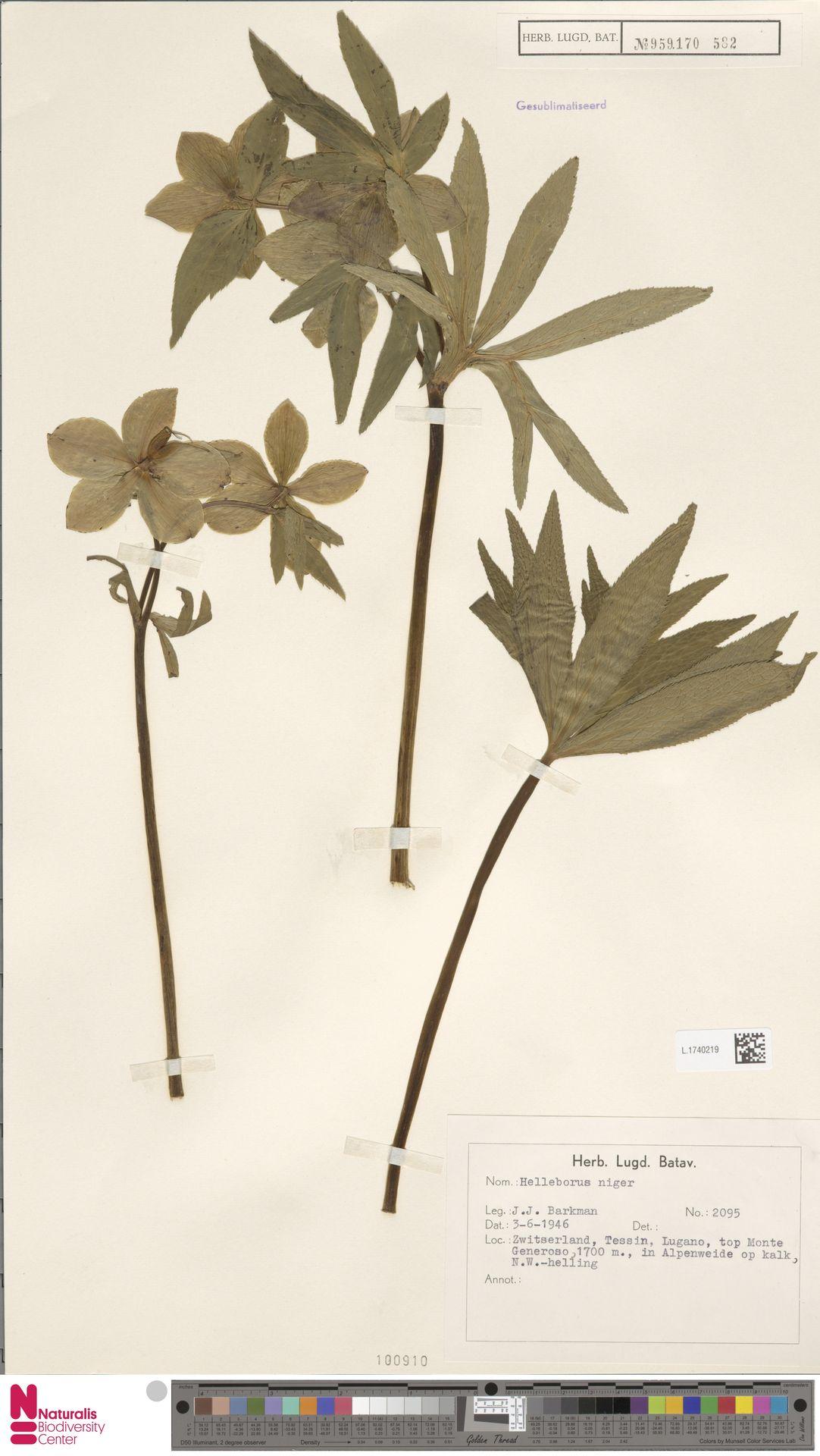 L.1740219 | Helleborus niger L.