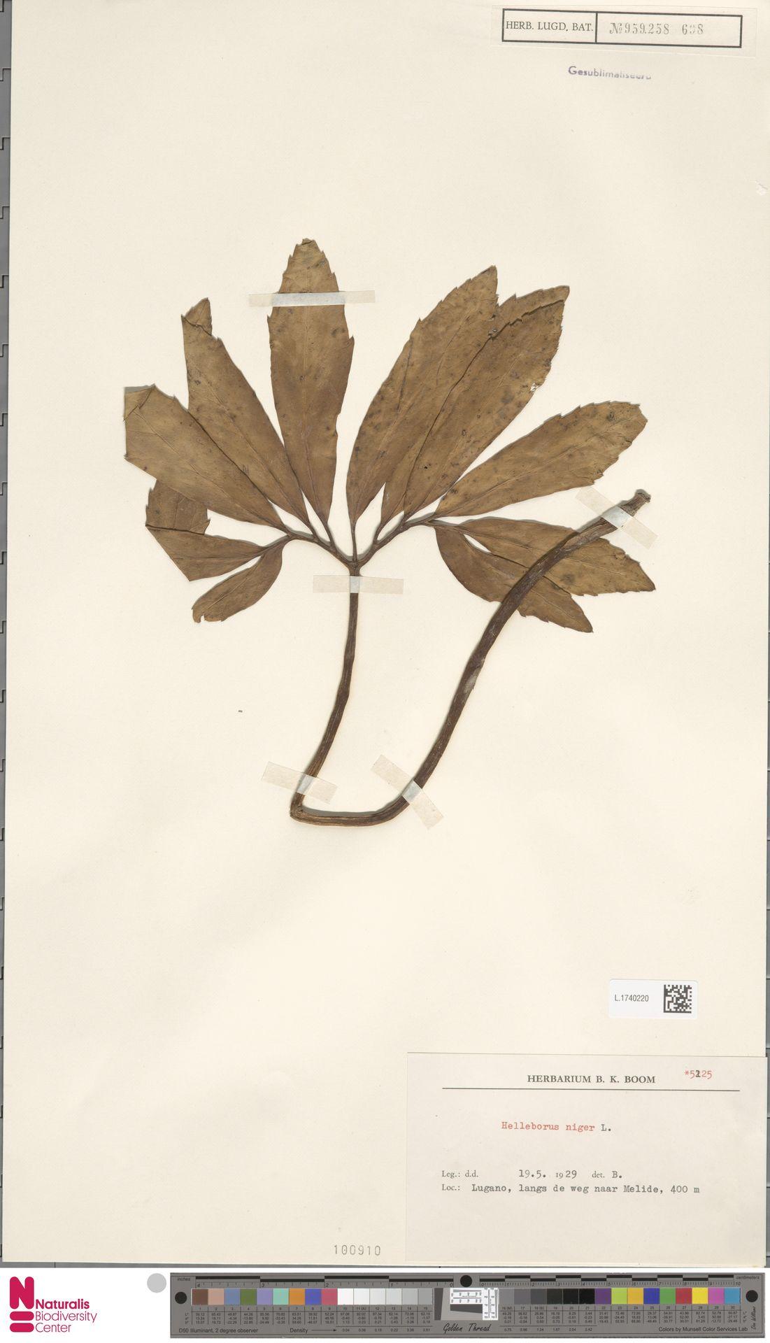 L.1740220 | Helleborus niger L.