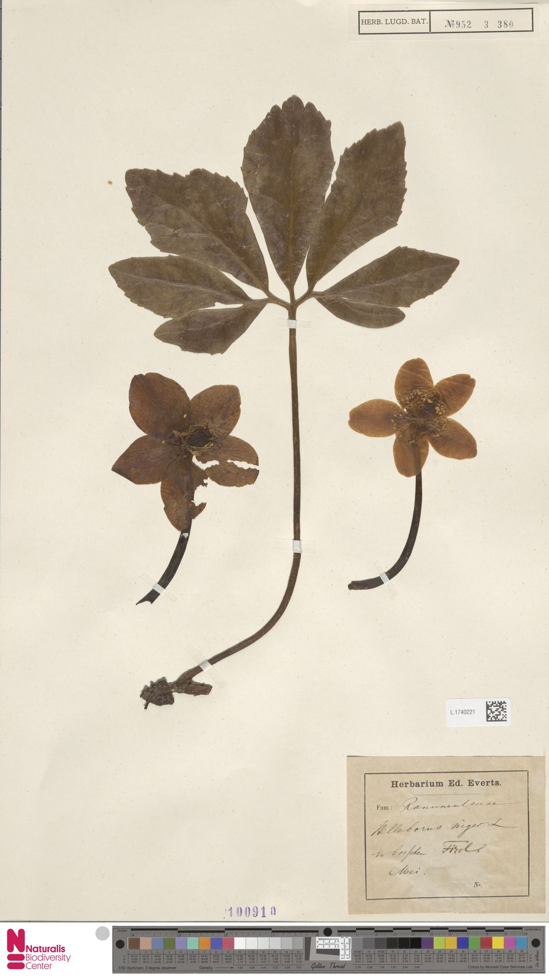 L.1740221 | Helleborus niger L.
