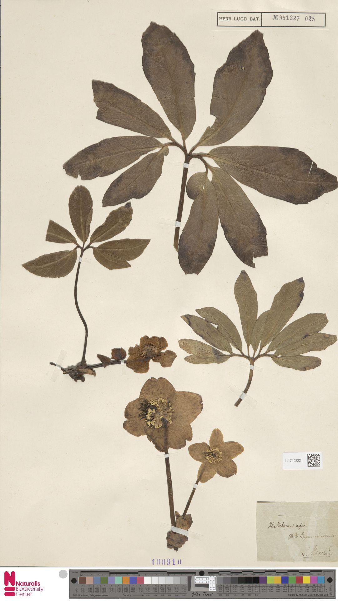 L.1740222 | Helleborus niger L.