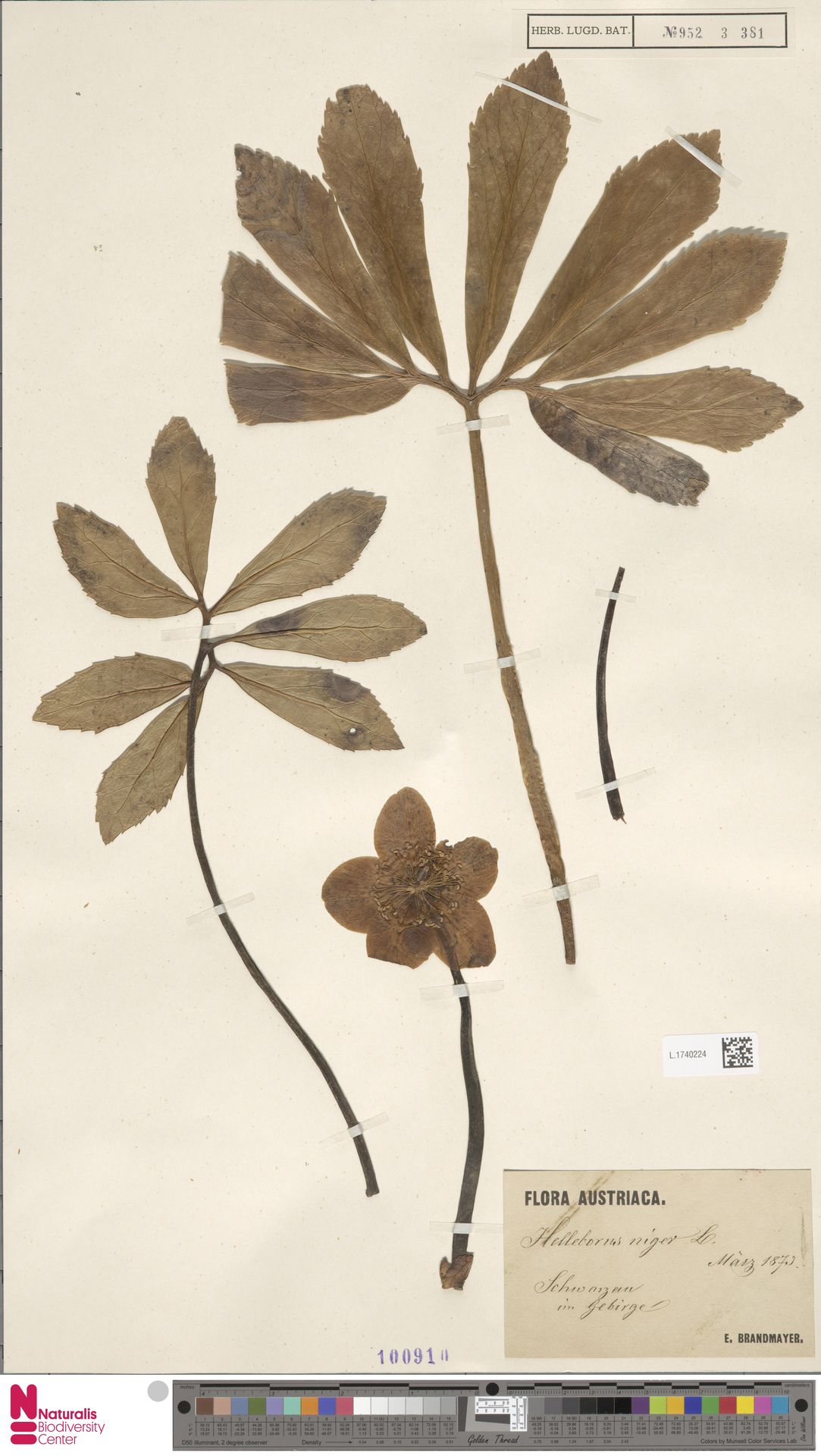 L.1740224 | Helleborus niger L.