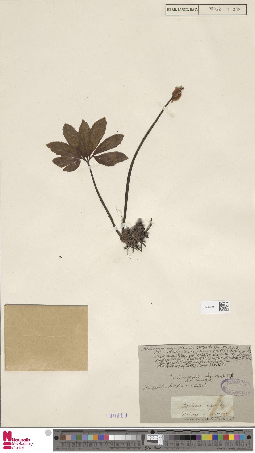 L.1740225   Helleborus niger L.