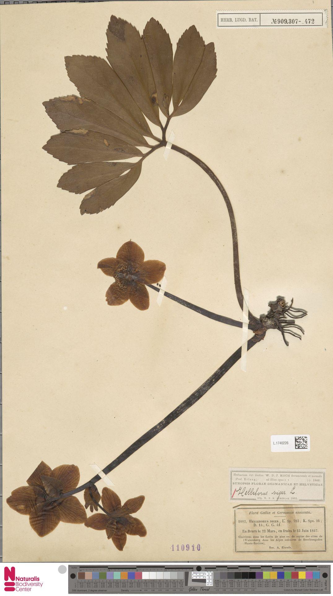 L.1740226   Helleborus niger L.