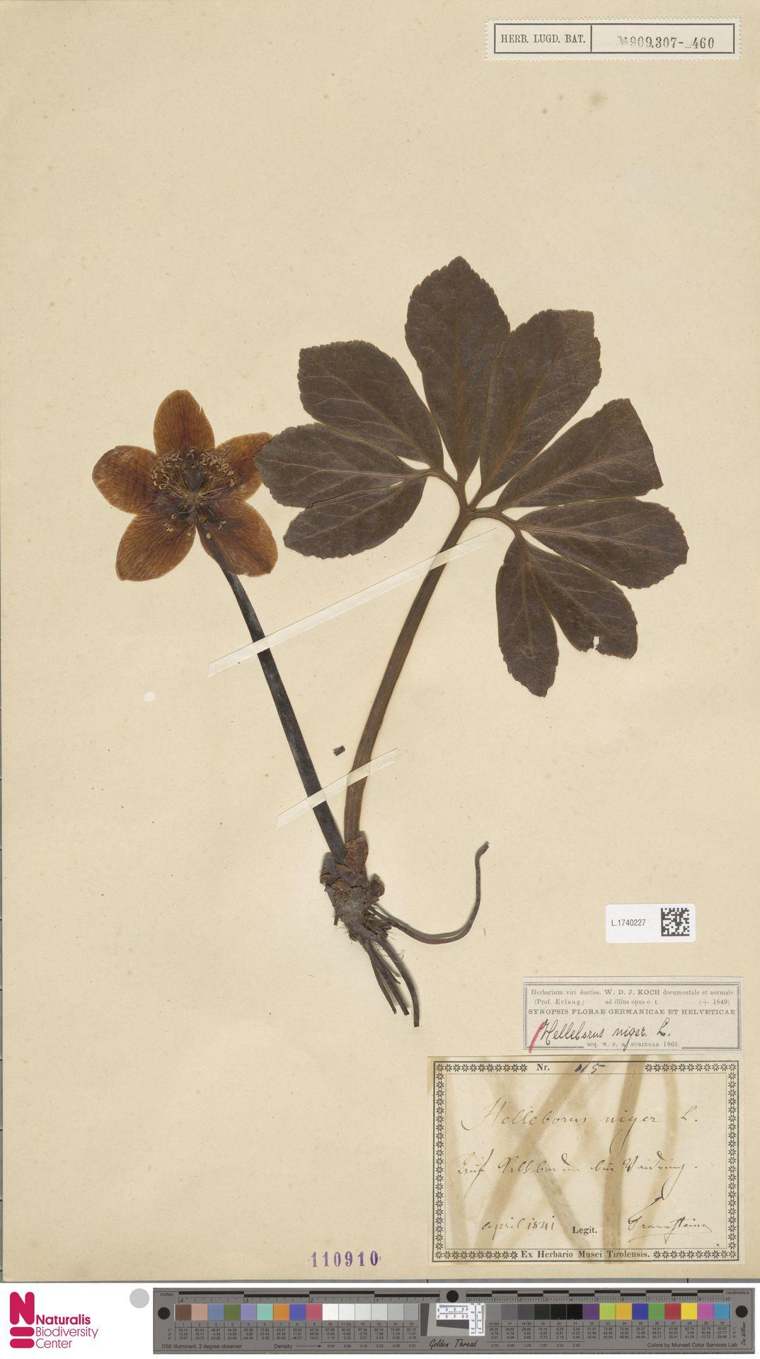 L.1740227   Helleborus niger L.