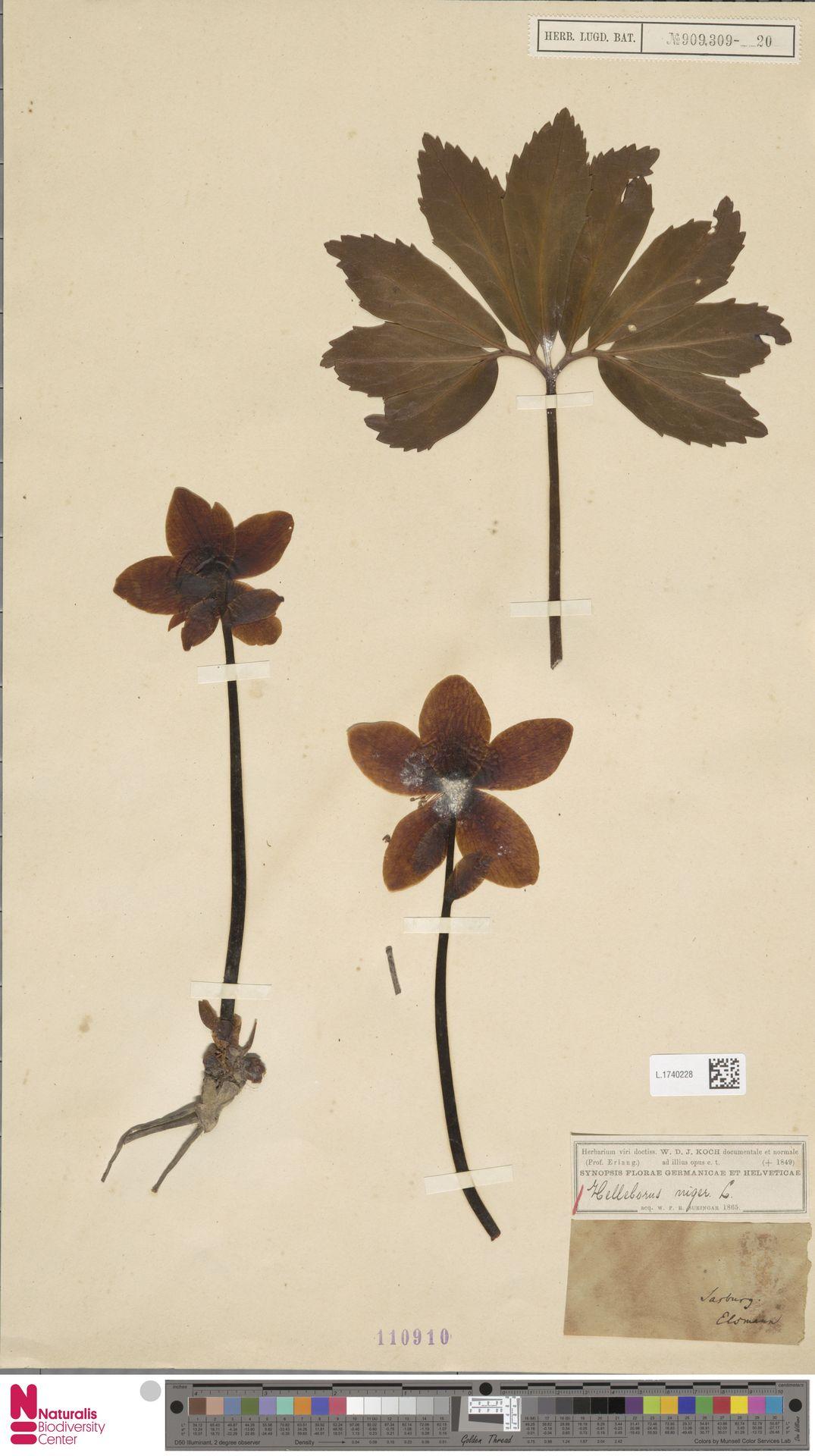 L.1740228 | Helleborus niger L.