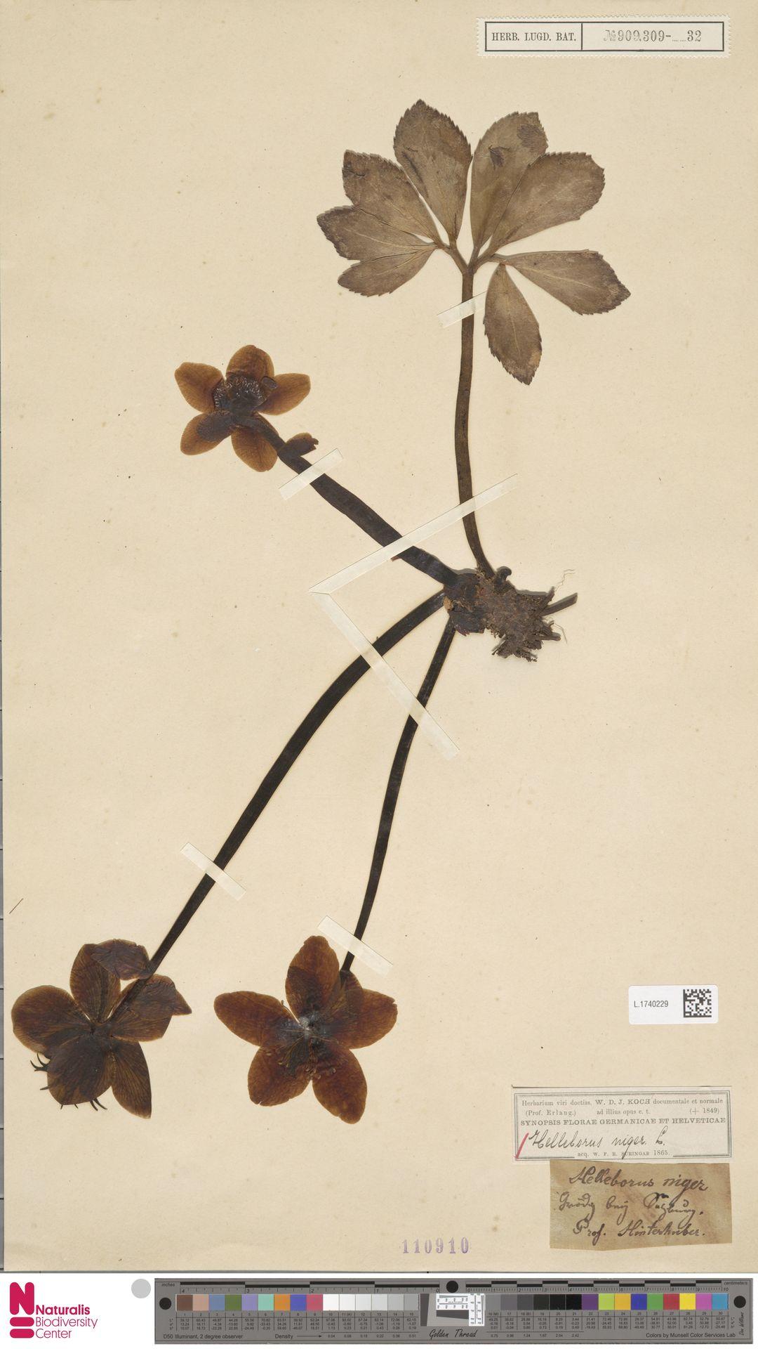 L.1740229 | Helleborus niger L.