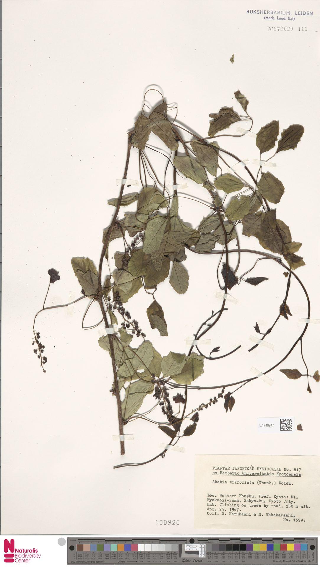 L.1740947   Akebia trifoliata (Thunb.) Koidz.