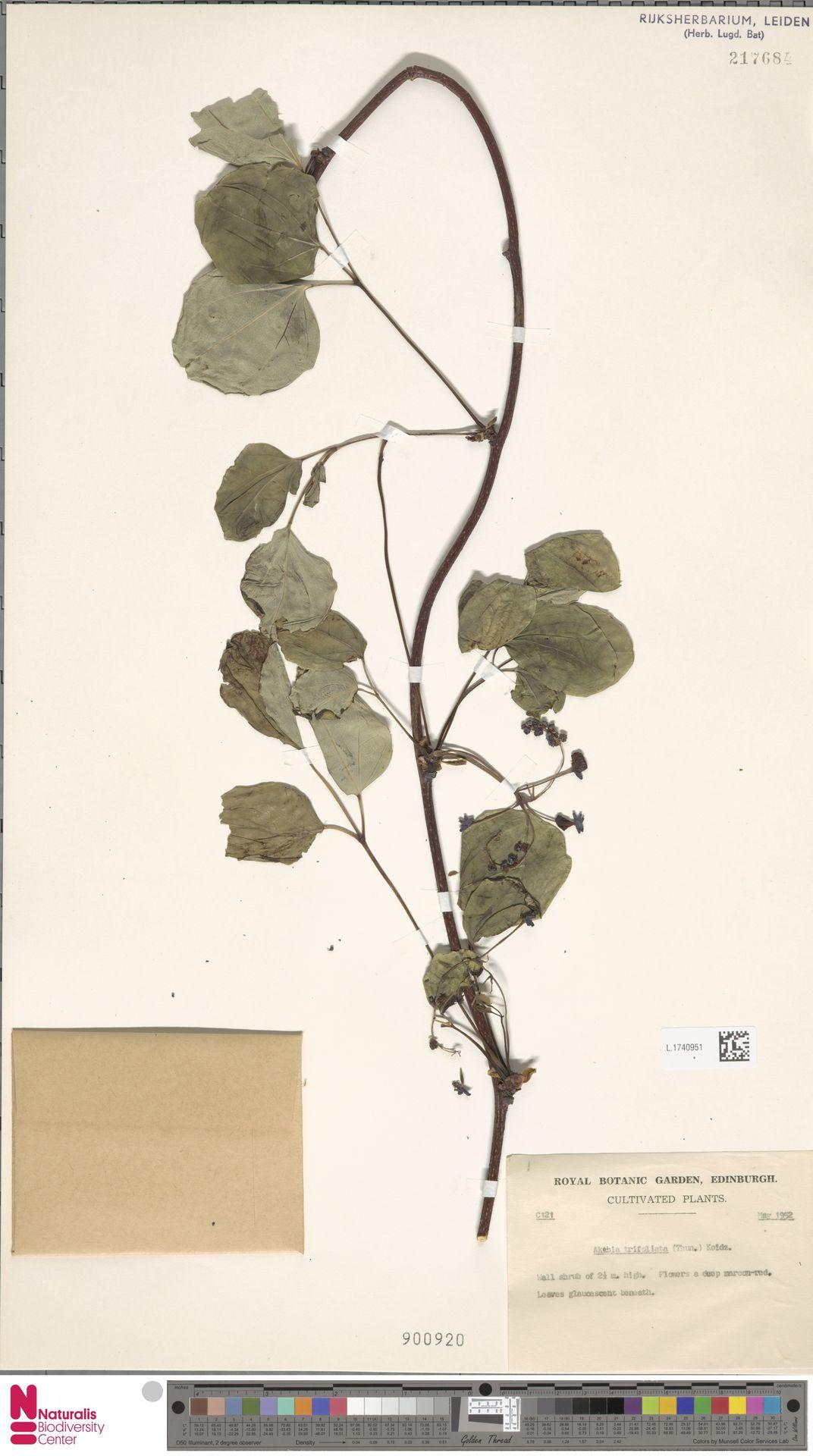 L.1740951 | Akebia trifoliata (Thunb.) Koidz.