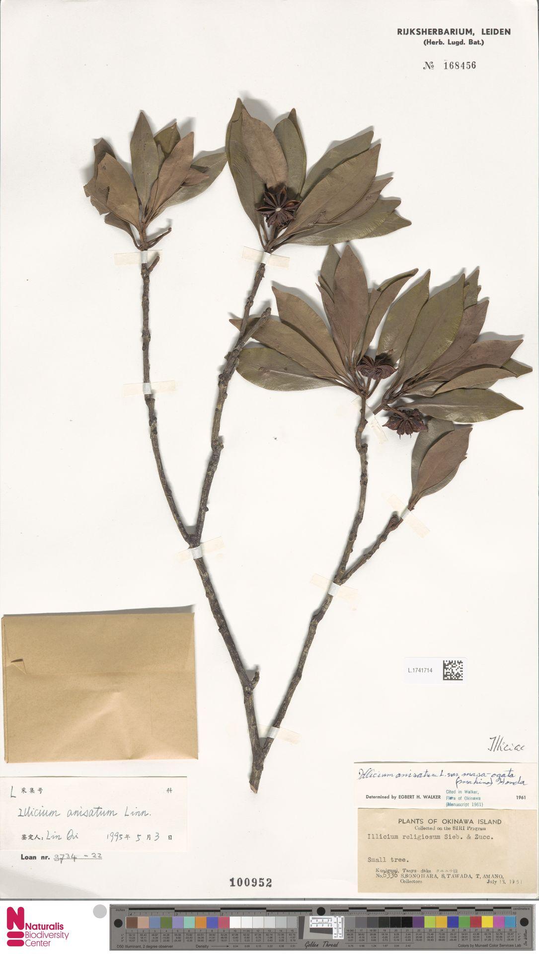 L.1741714   Illicium anisatum L.