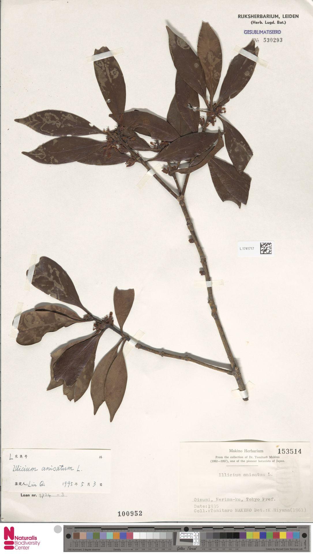 L.1741717 | Illicium anisatum L.