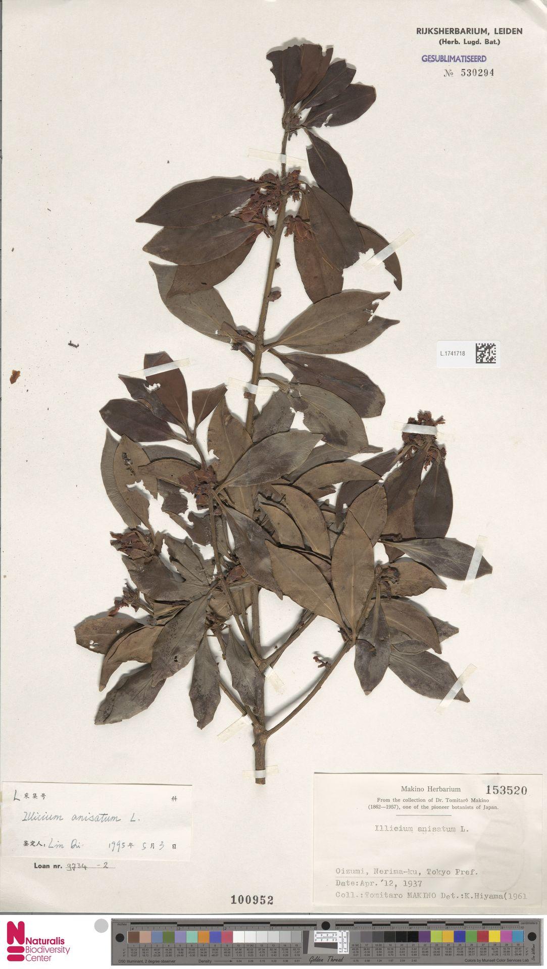 L.1741718 | Illicium anisatum L.
