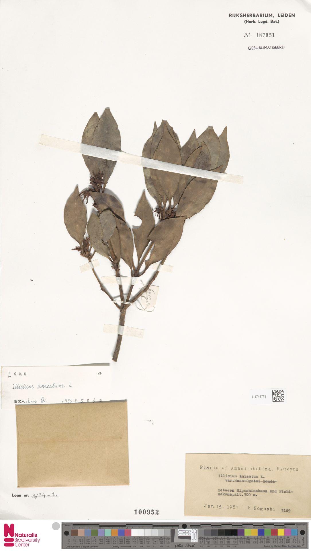 L.1741719   Illicium anisatum L.